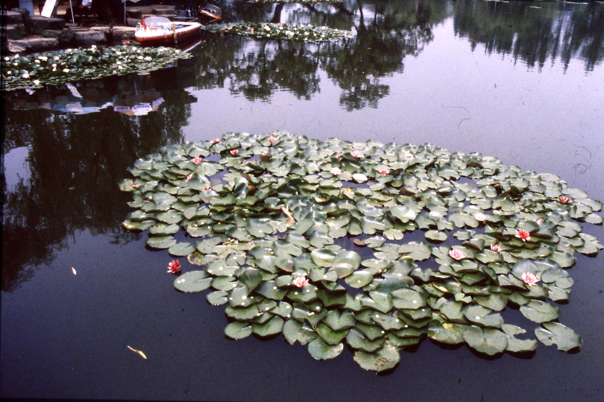 19/6/1989: 12: water lilies and coins on Xiao Ying Zhou Isle