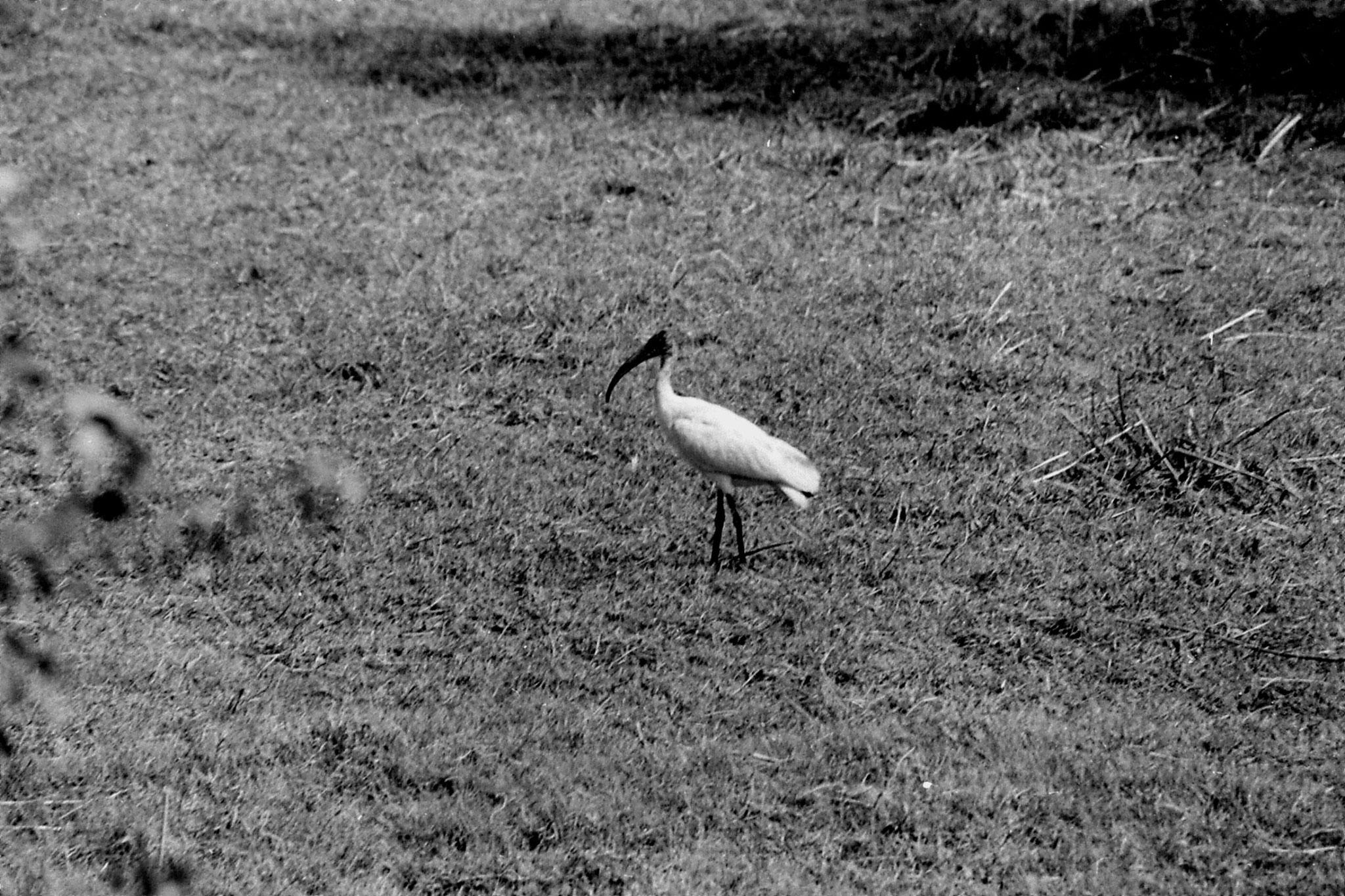 1/4/1990: 5: Bharatpur ibis