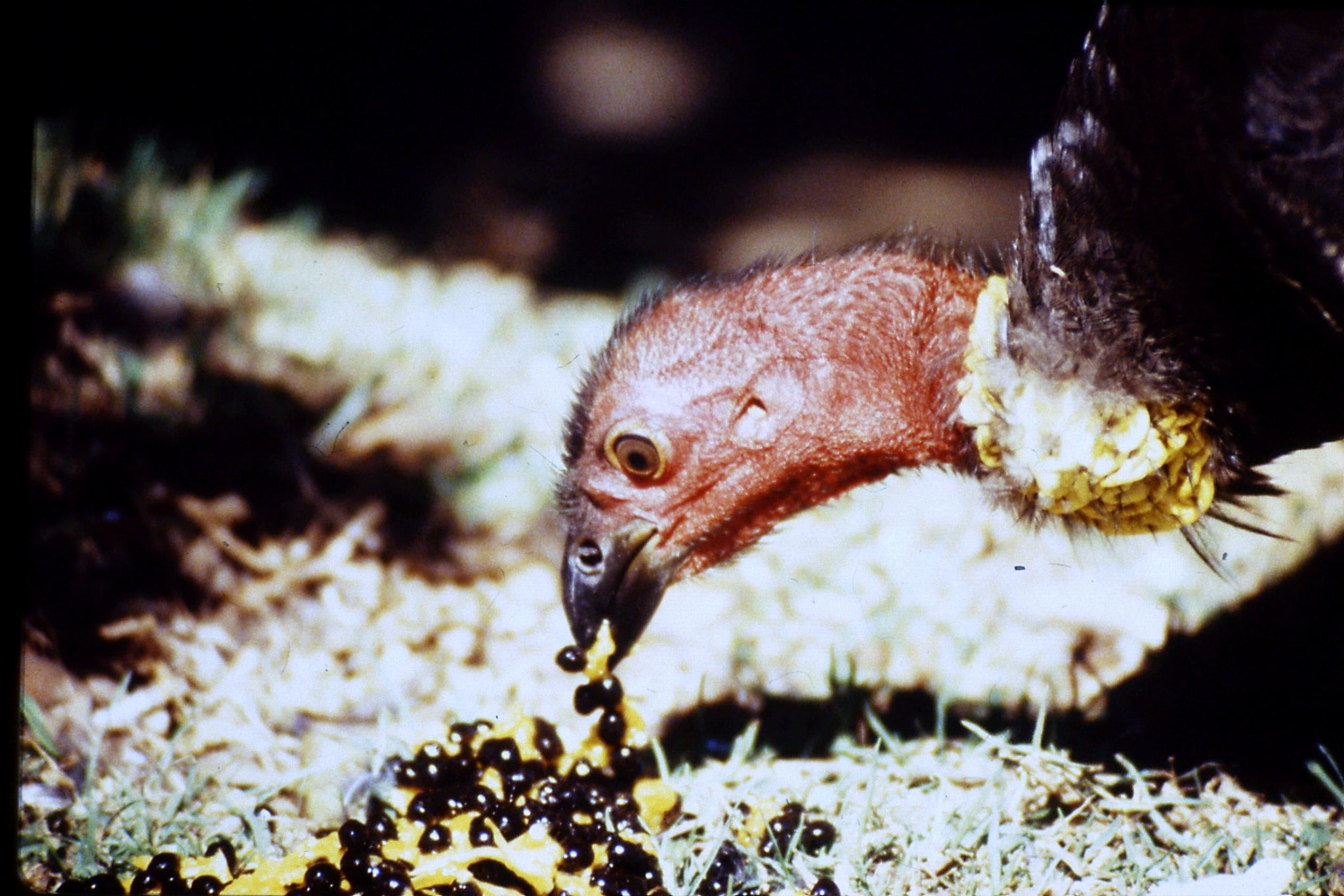 13/10/1990: 7: Mt Lamington, brush turkey
