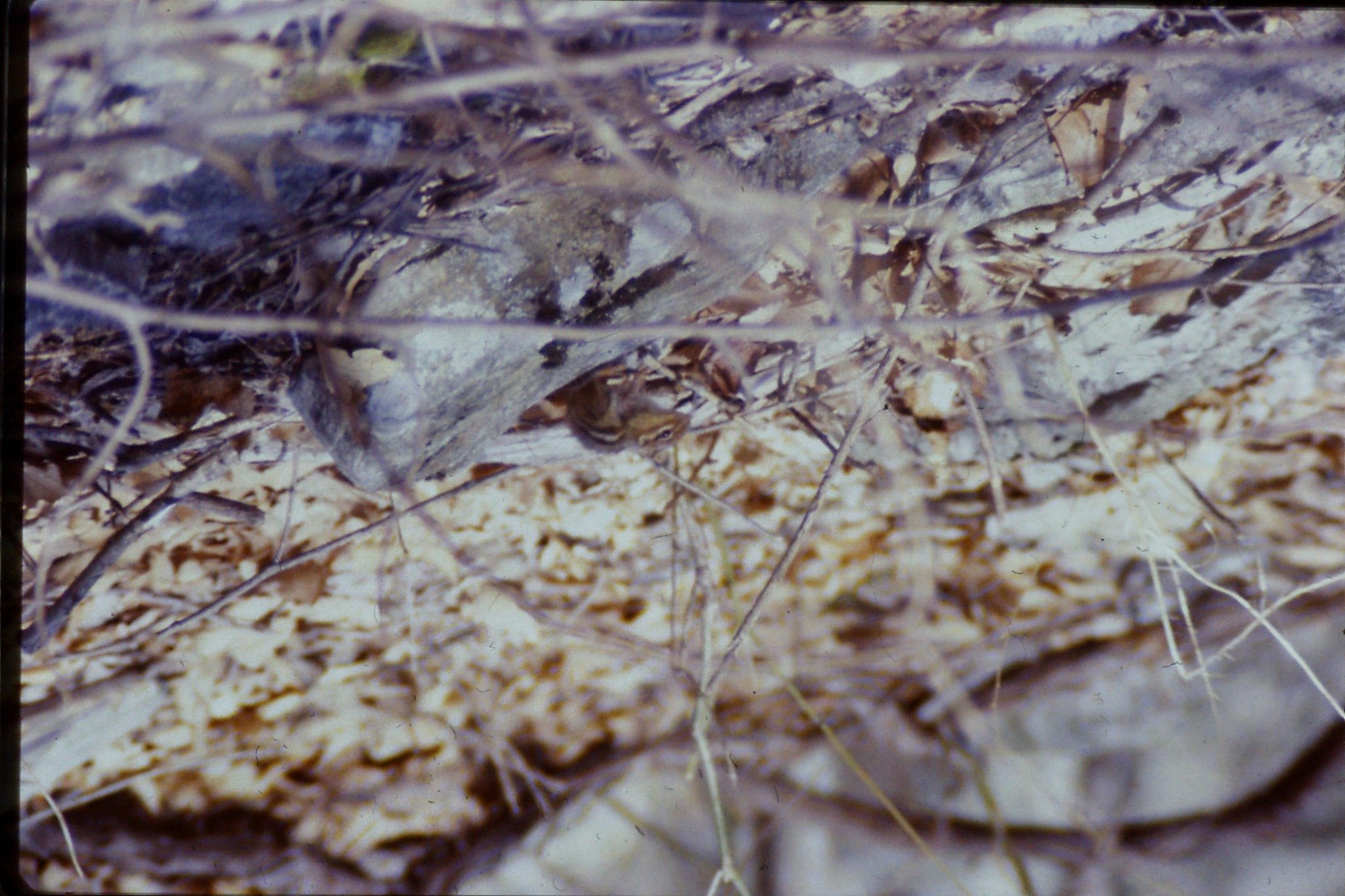 21/3/1990: 34: Seneca Rocks WV Eastern chipmunk