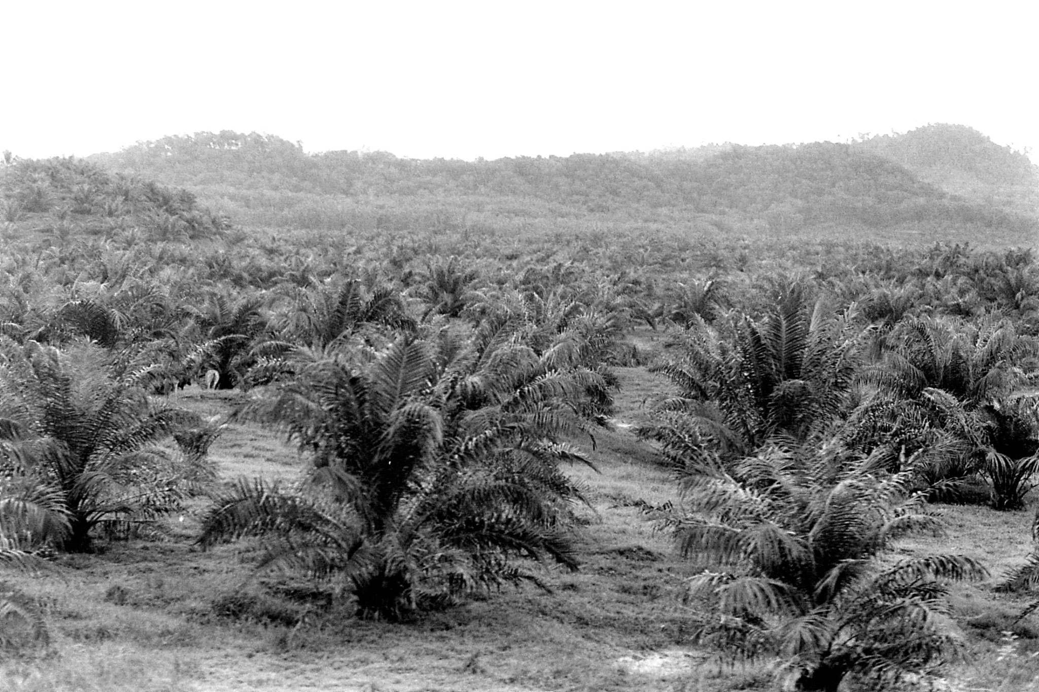 21/6/1990: 32: train to Jelantut, palm oil plantation after Kuala Kerai