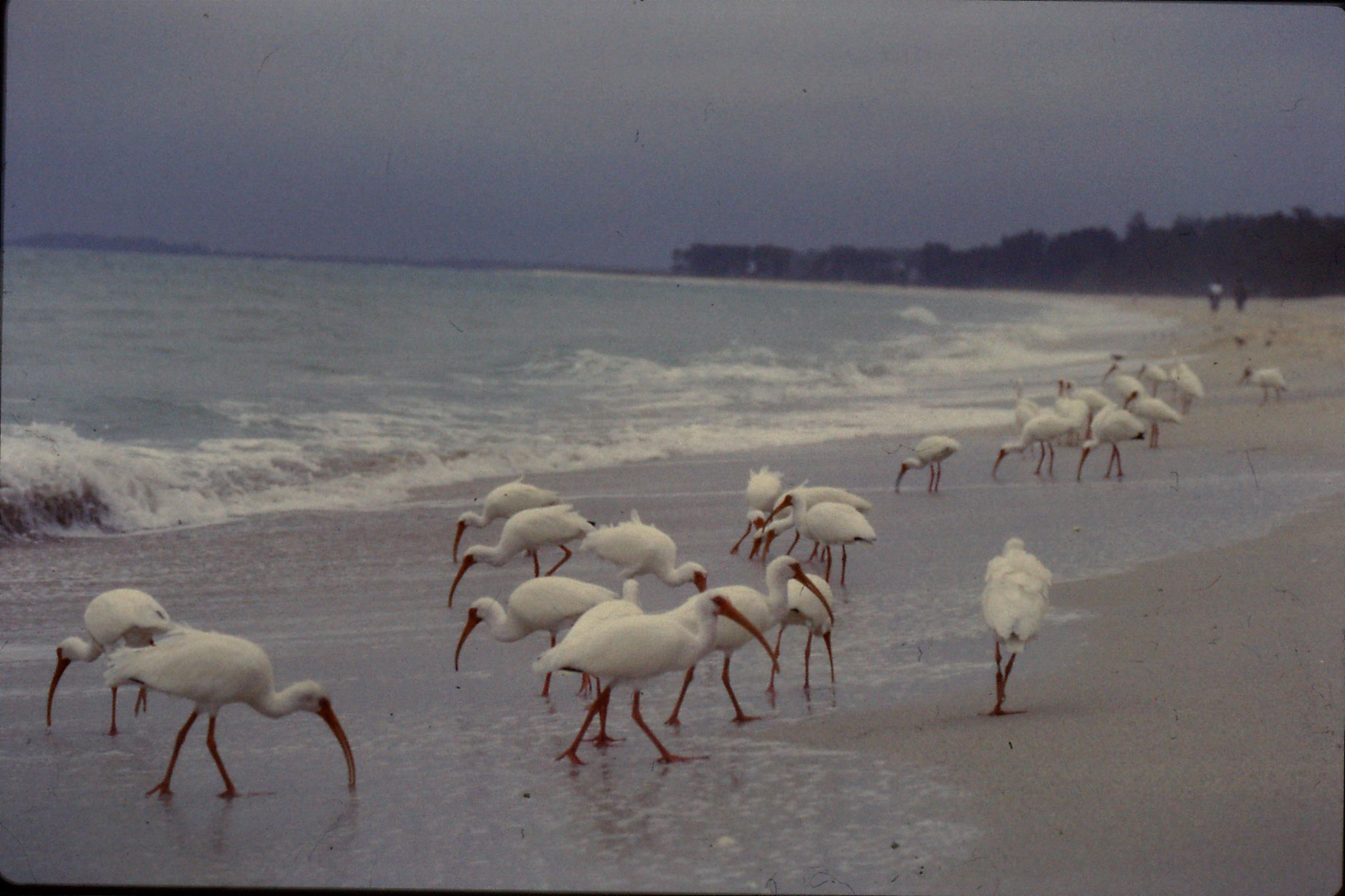 25/2/1991: 3: Sanibel Florida white ibises