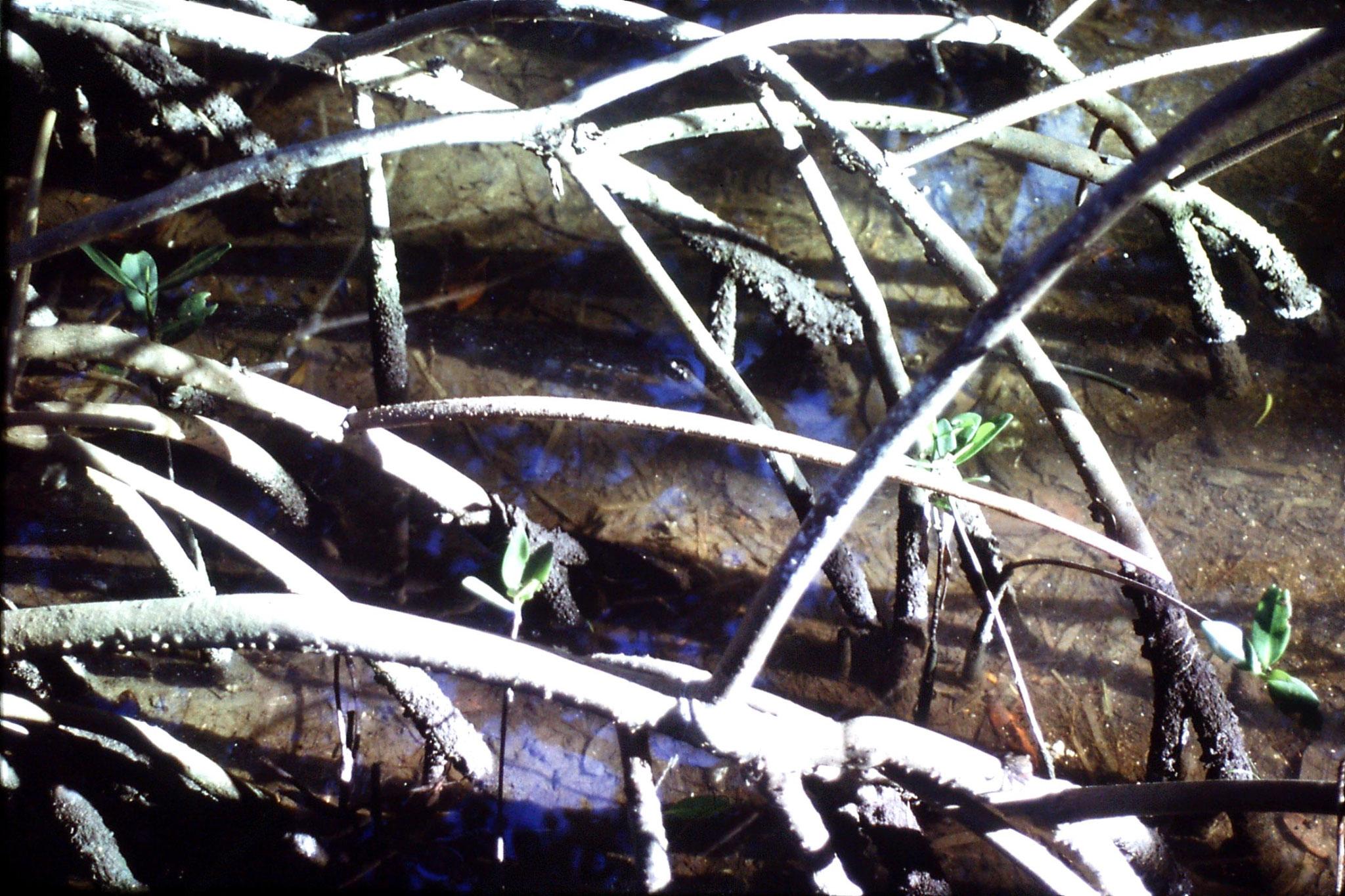 5/1/1991: 23: mangrove crab