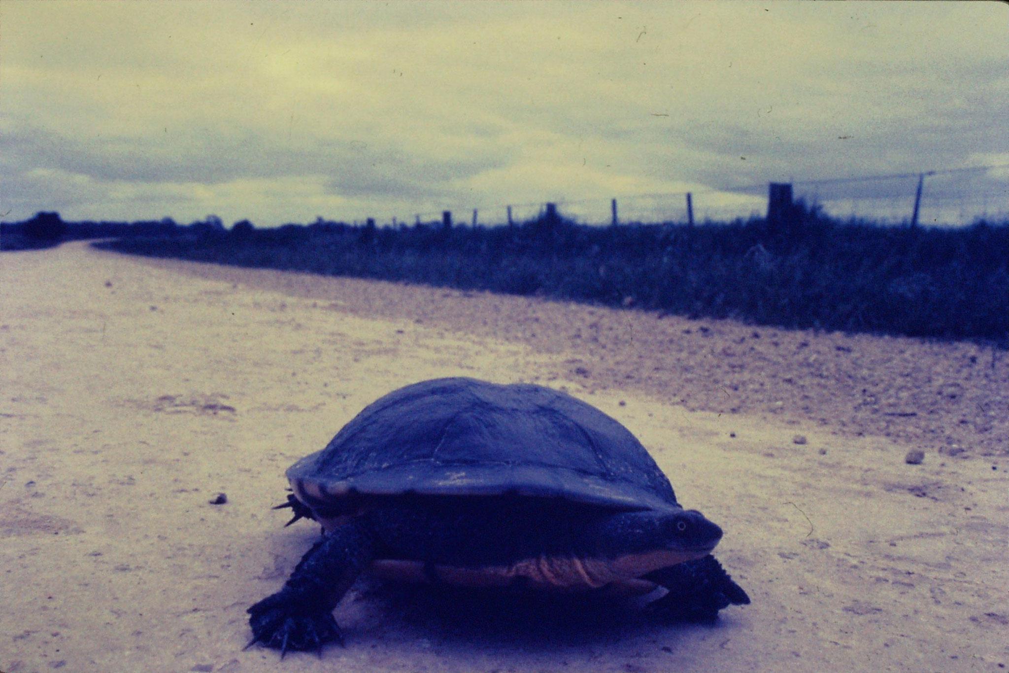 7/11/1990: 6: Naracoorte, tortoise 9 inch