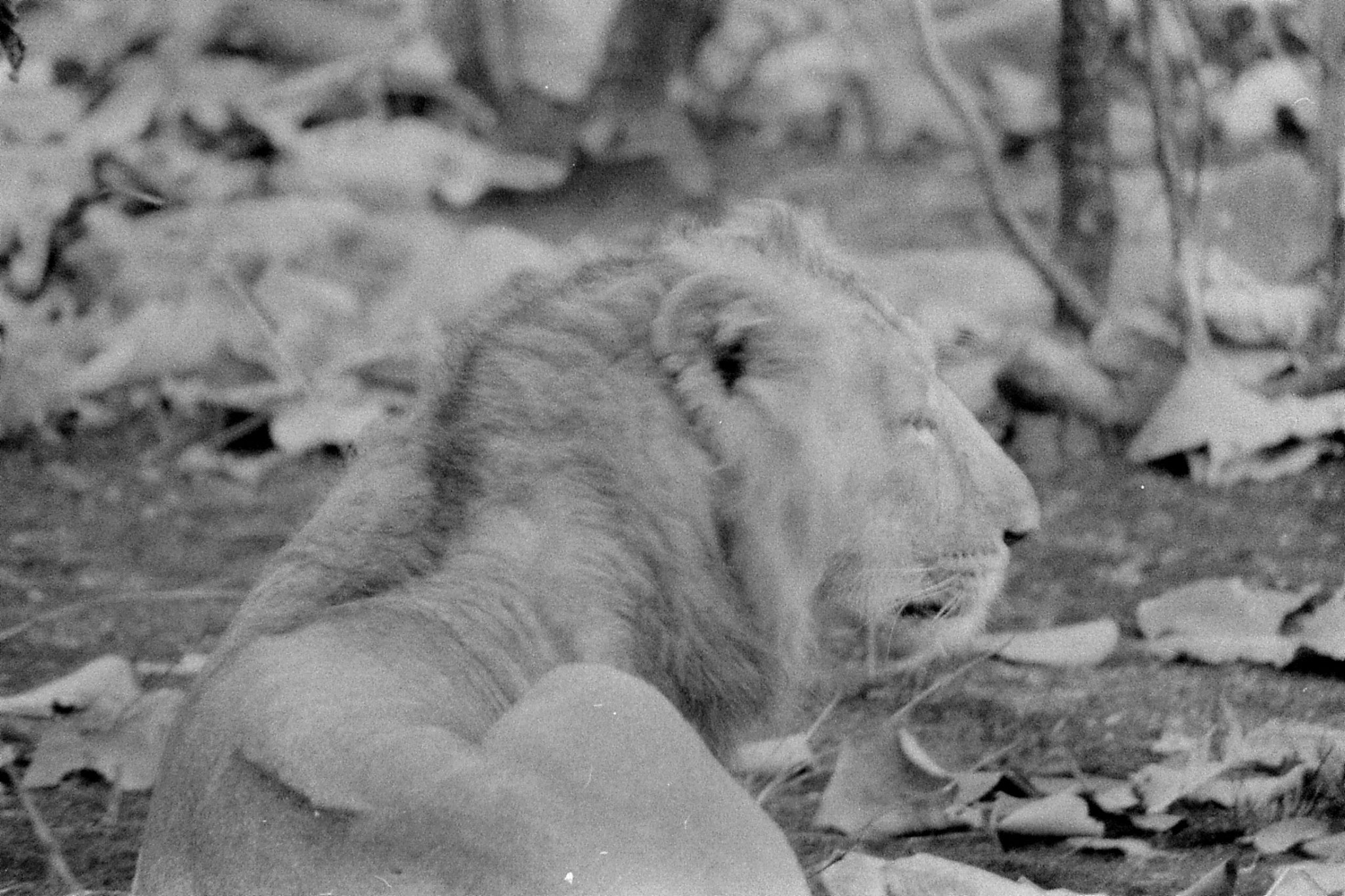 13/12/89: 5: Lions early morning