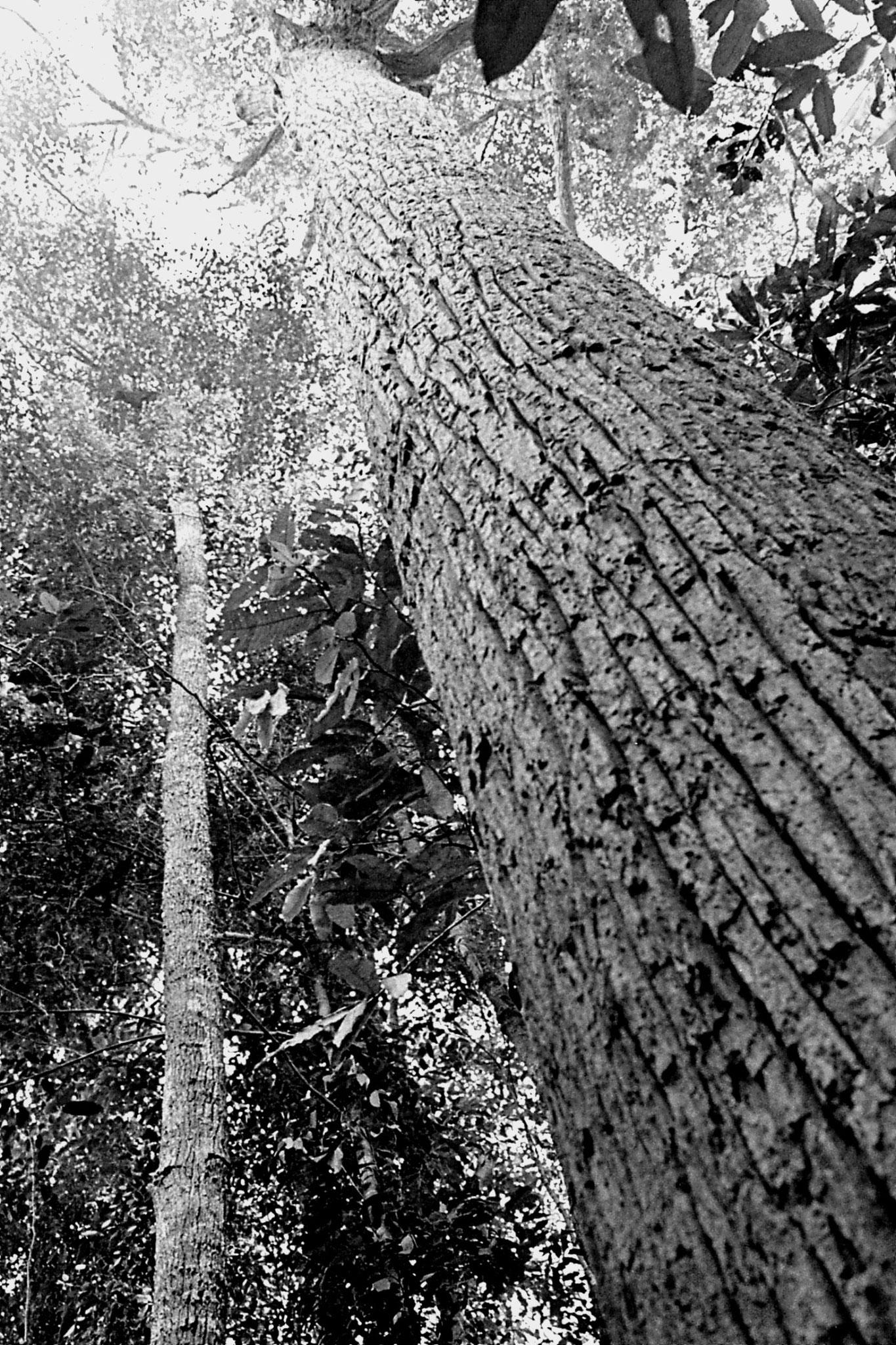 23/6/1990: 36: Tamen Negara, a Shorea Cortissi Seraya