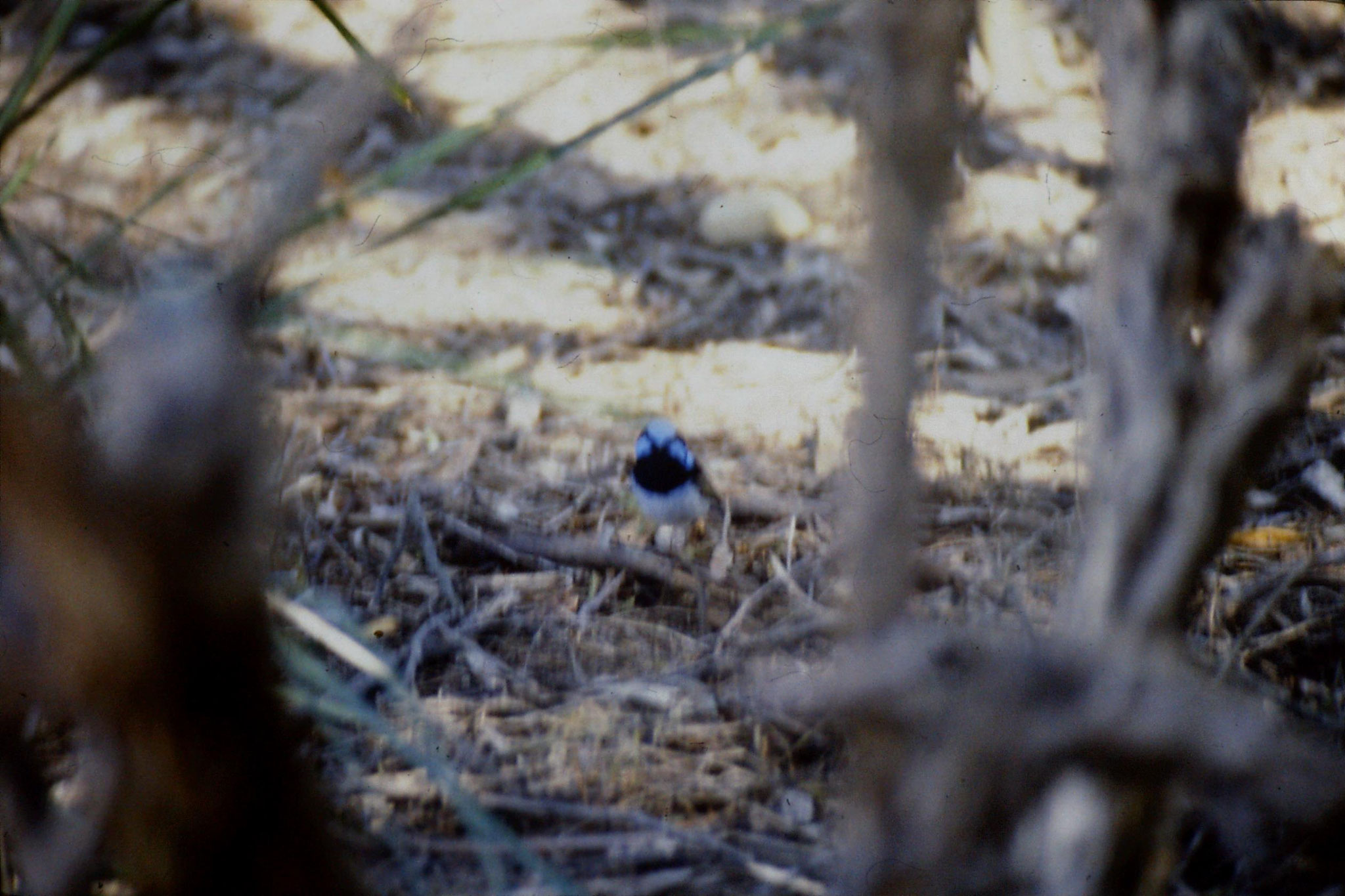 4/10/1990: 19: Healesville  Sanctuary, fairy wren