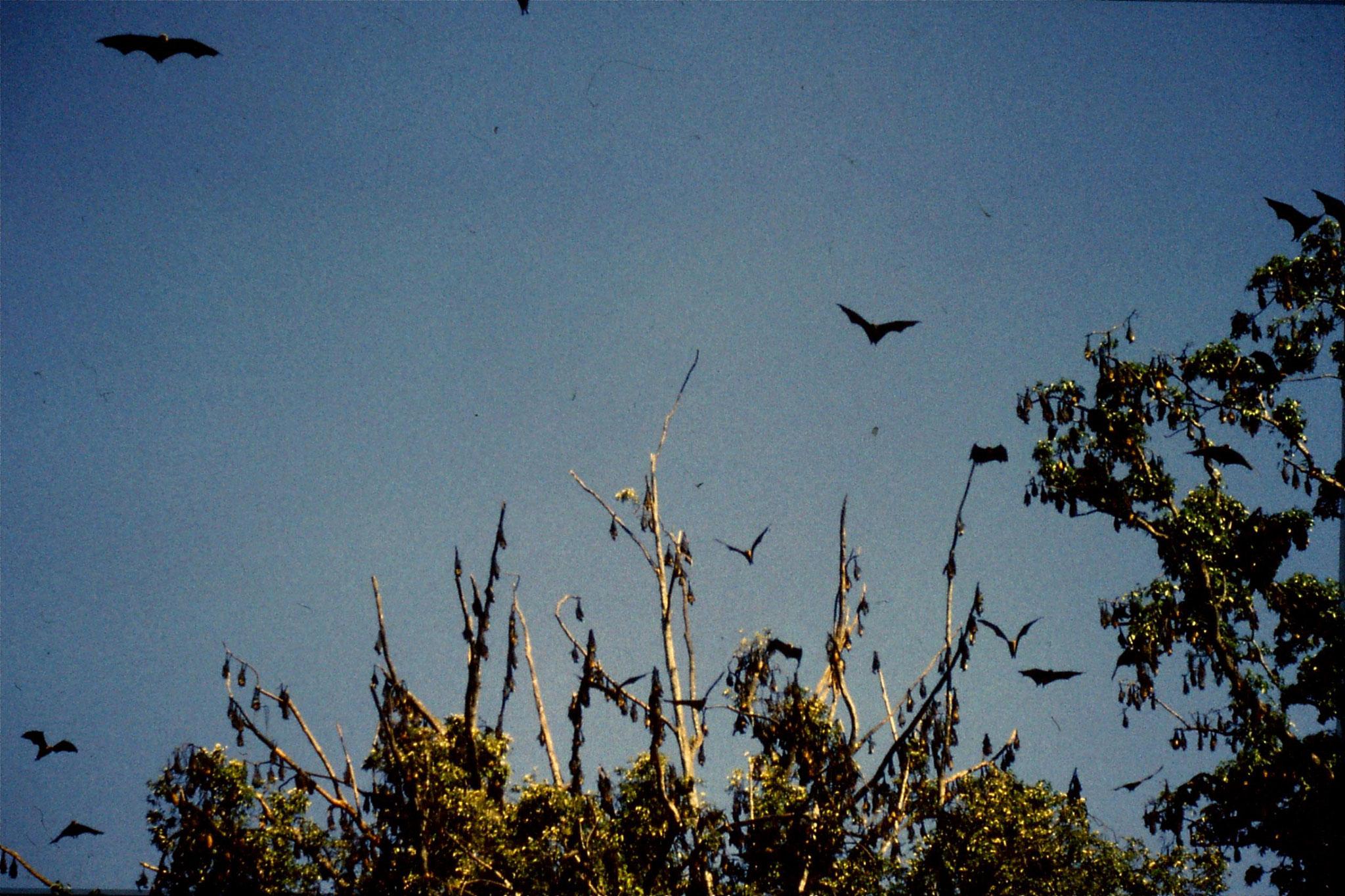 5/2/1990: 34: Kandy Botanic Gardens