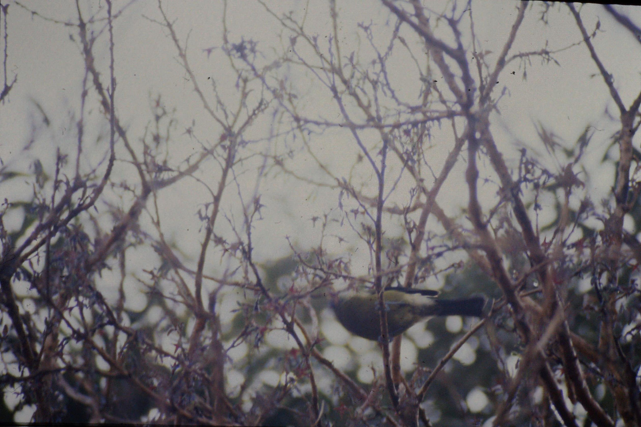 22/8/1990: 27: Bellbird at Fox Glacier
