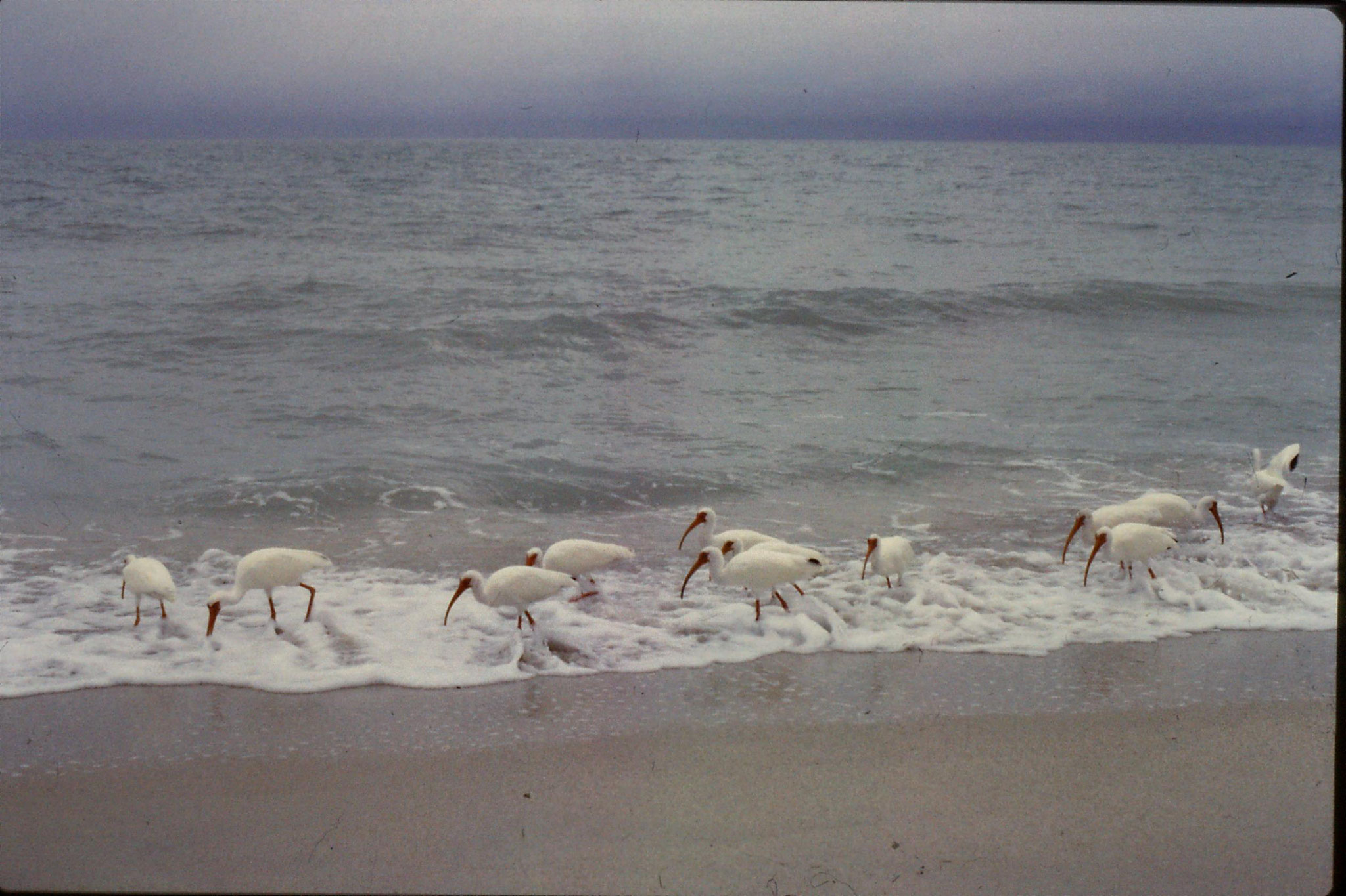 25/2/1991: 1: Sanibel Florida white ibises