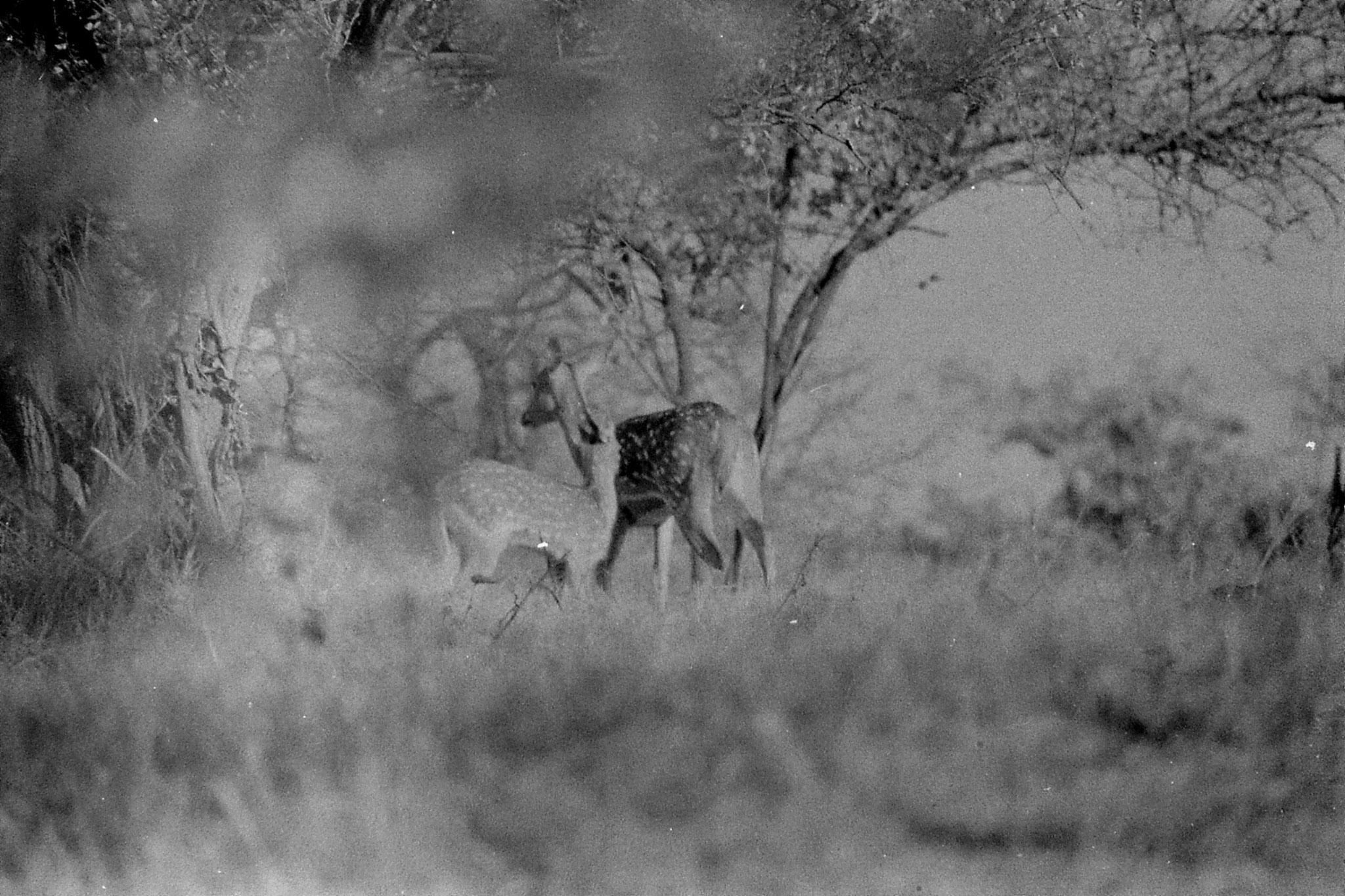 12/12/89: 2: Spotted deer