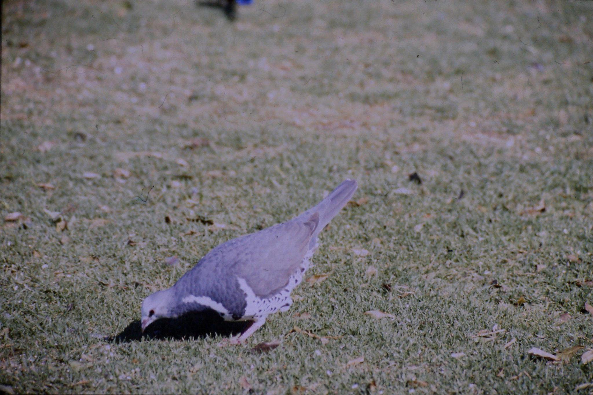 12/10/1990: 33: Lamington Nat. Pk., Wonga pigeon