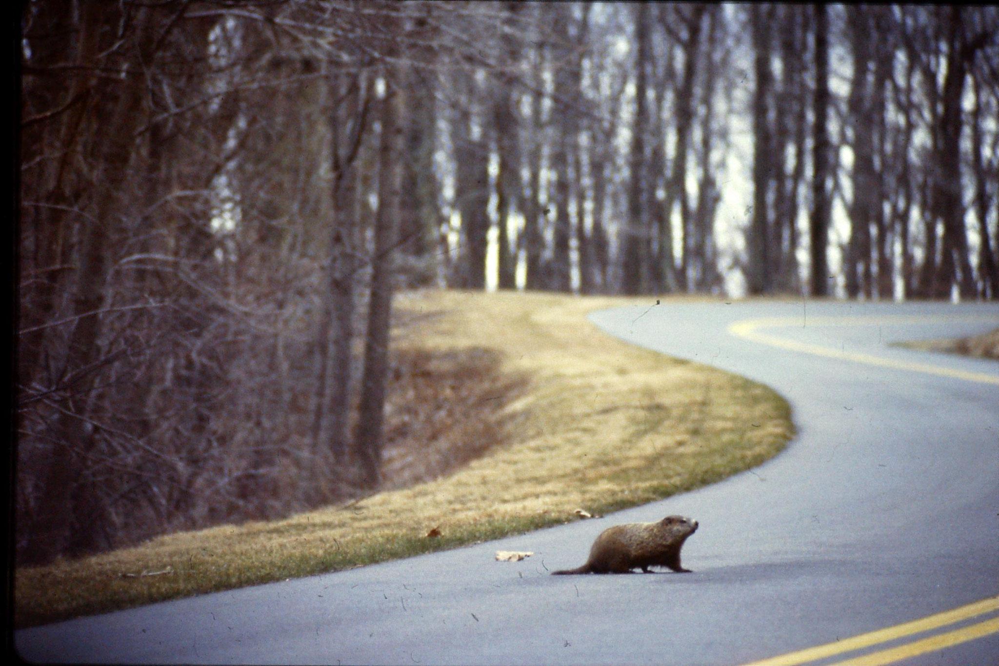 18/3/1991: 30: woodchuck
