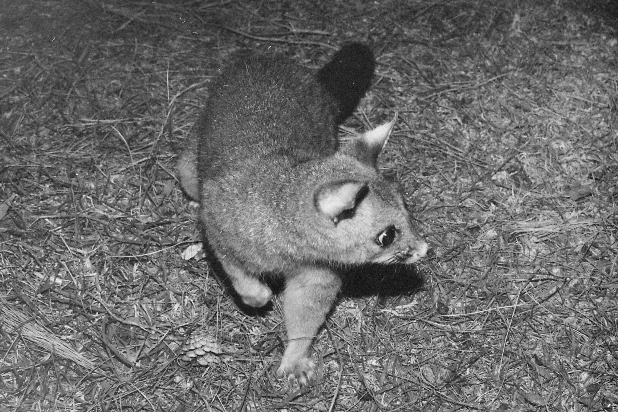 22/9/1990: 5: Dimboola Caravan Park possums