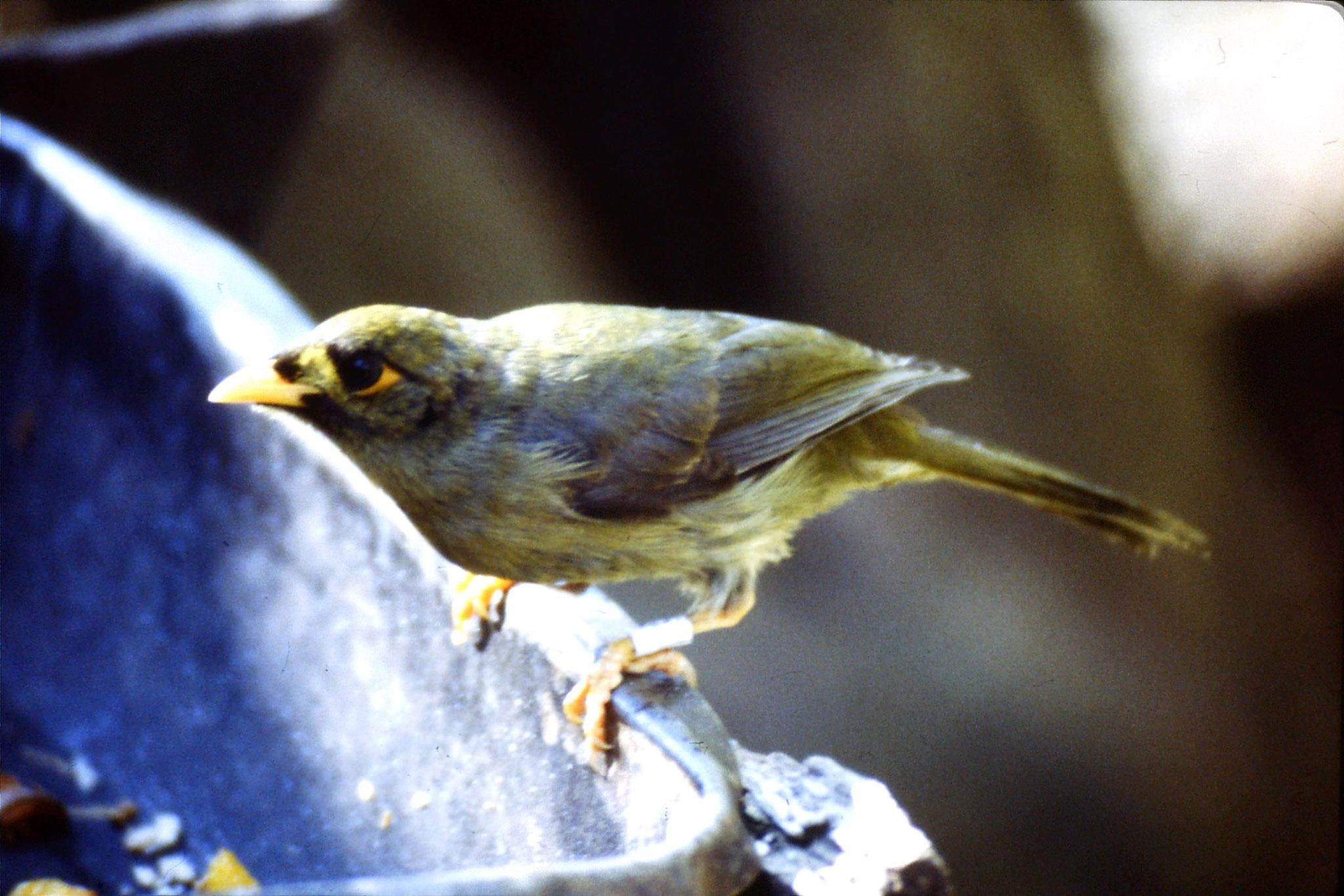 4/10/1990: 17: Healesville  Sanctuary, bell miner