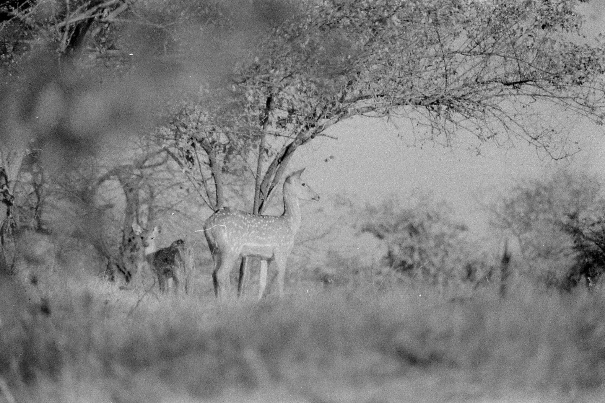 12/12/89: 3: Spotted deer