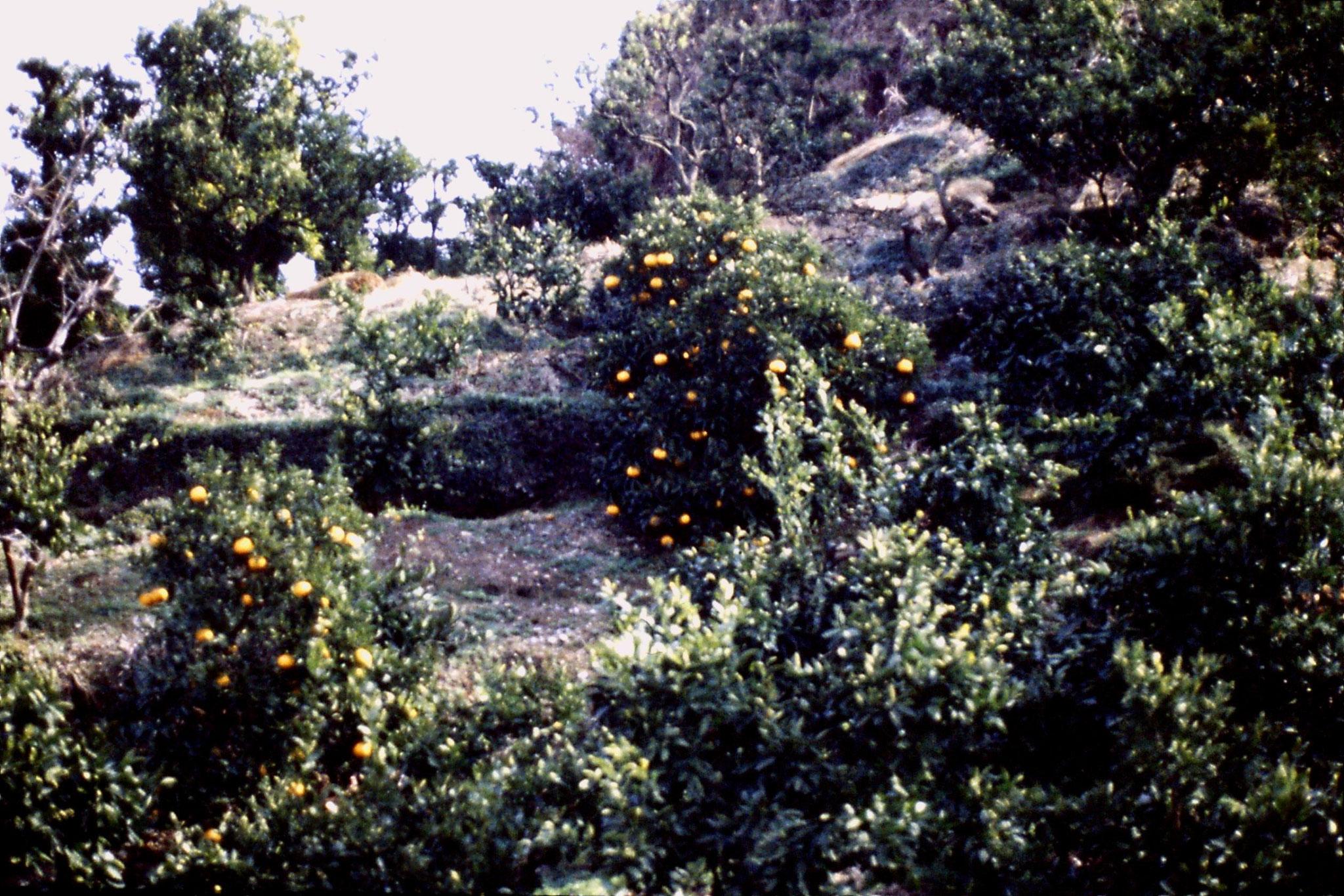 27/1/1989: 21: Shimizu mandarin orange trees