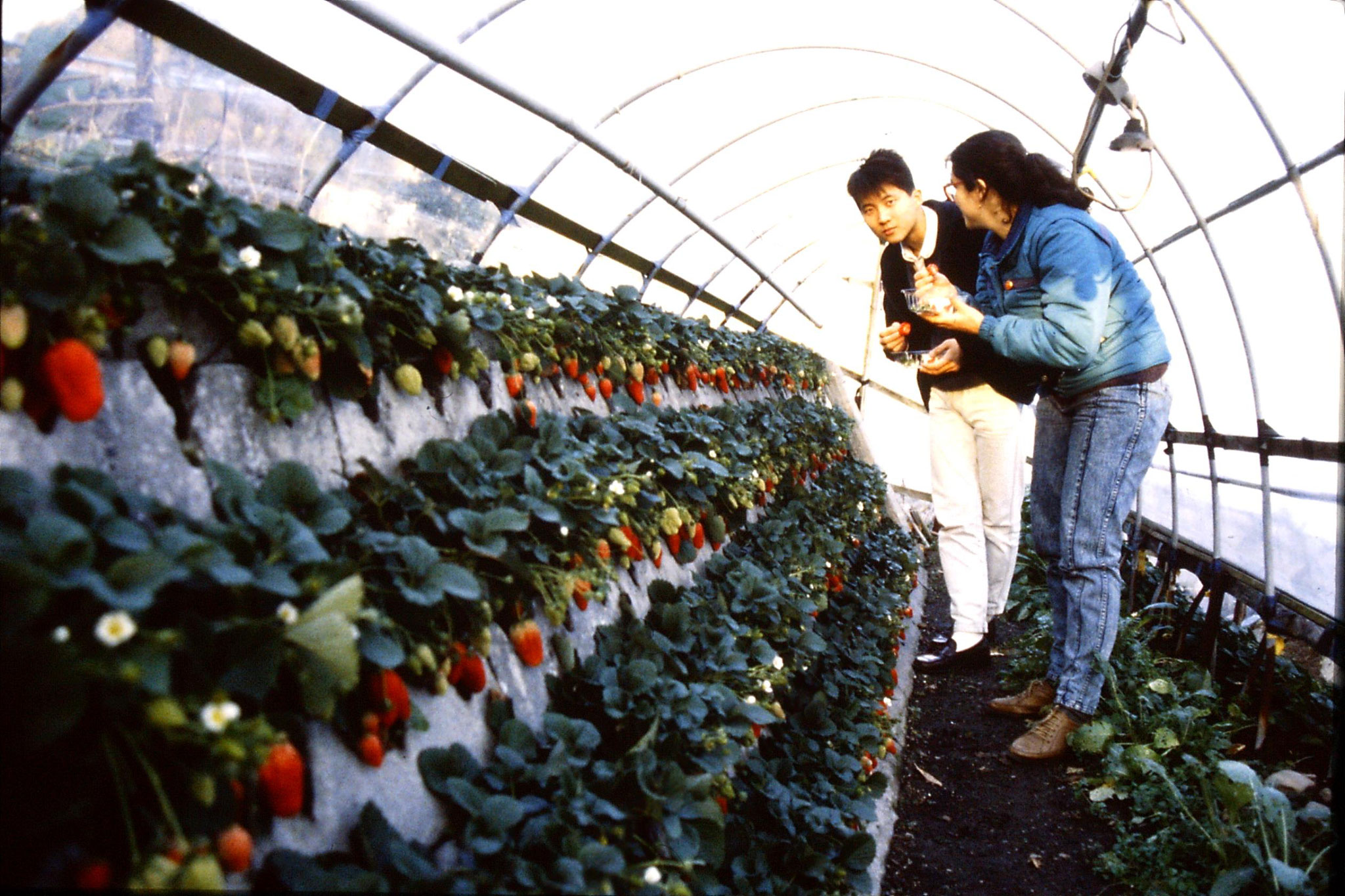 27/1/1989: 24: strawberry farm at Shimizu