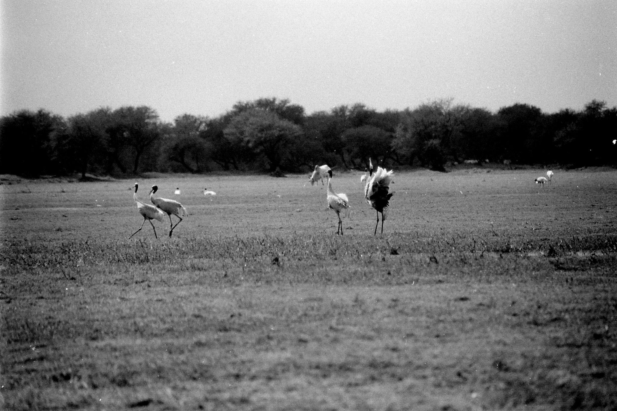 1/4/1990: 16: Bharatpur Sarus cranes dancing