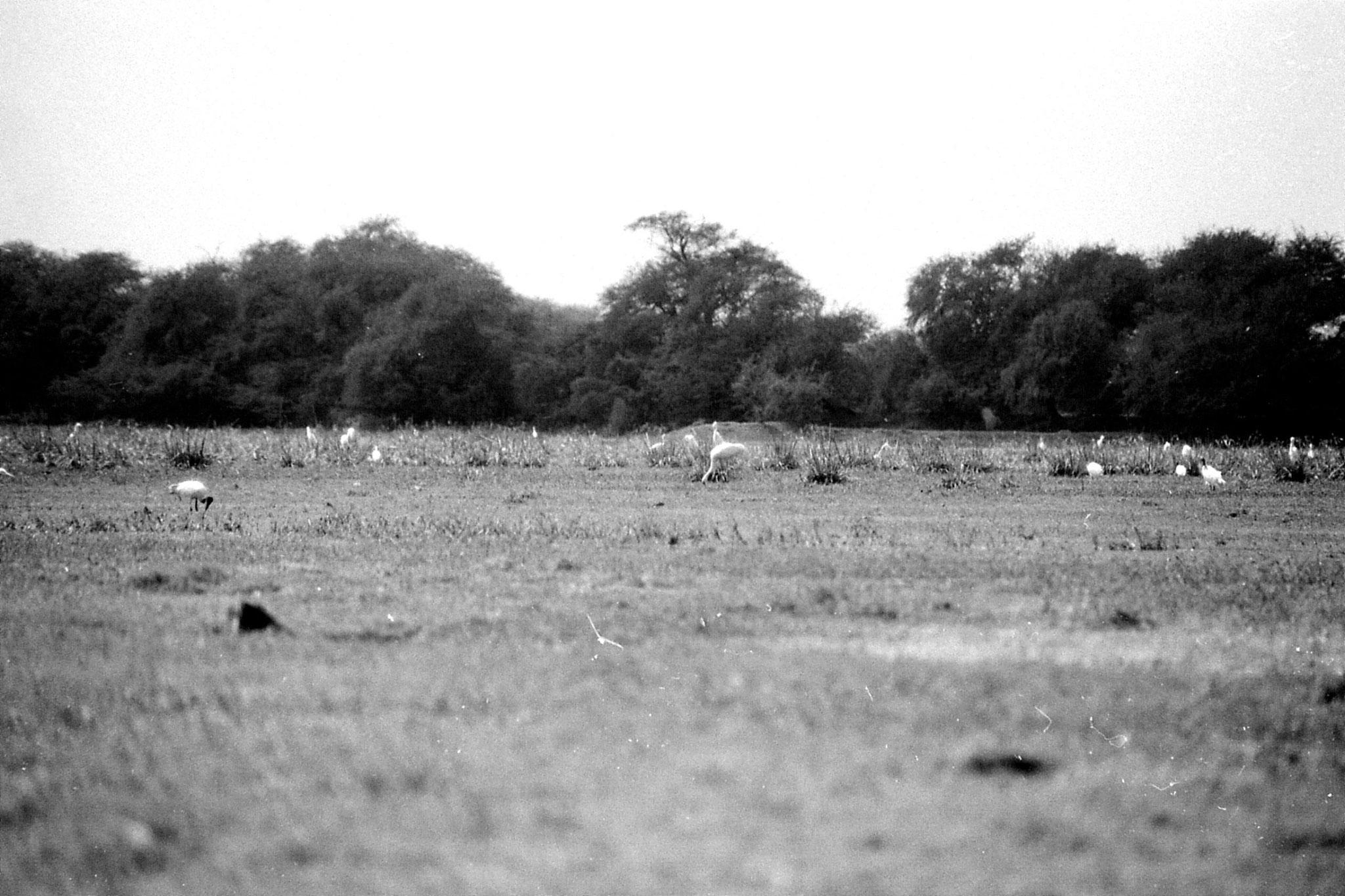 1/4/1990: 13: Bharatpur cranes including Siberian