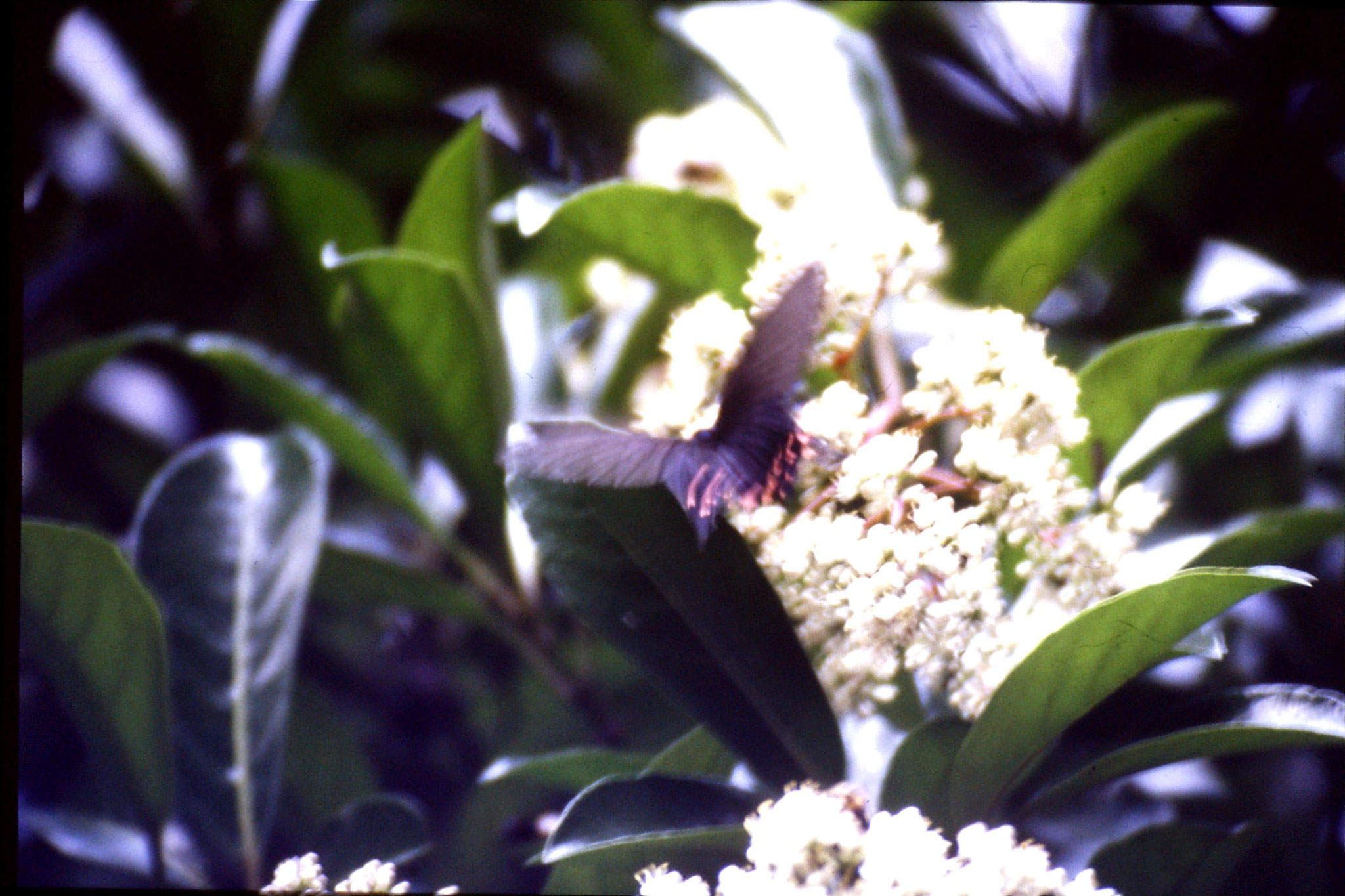 8/6/1989: 15: Hangzhou, black butterfly with orange spots
