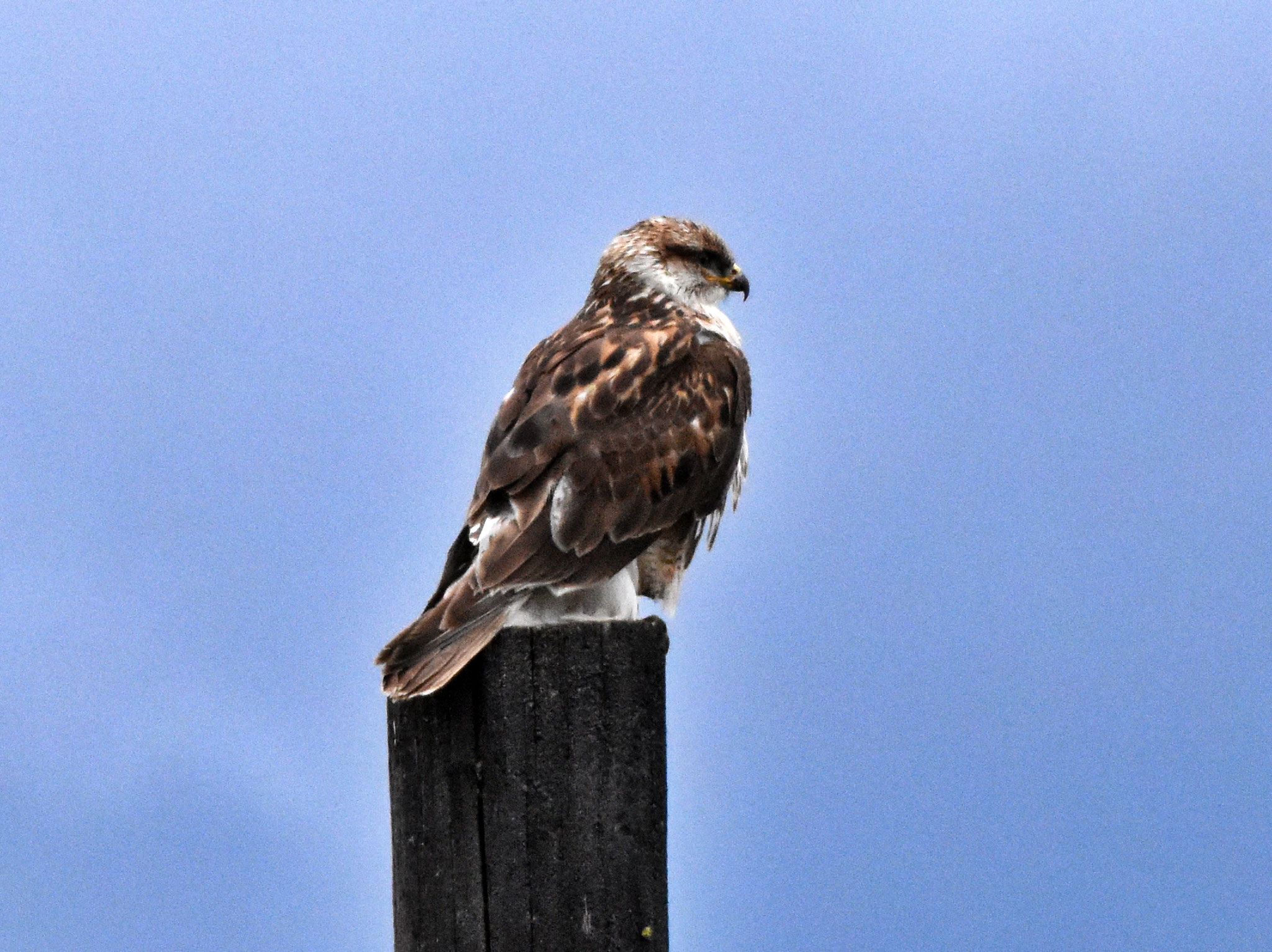 Ferrugineous Hawk