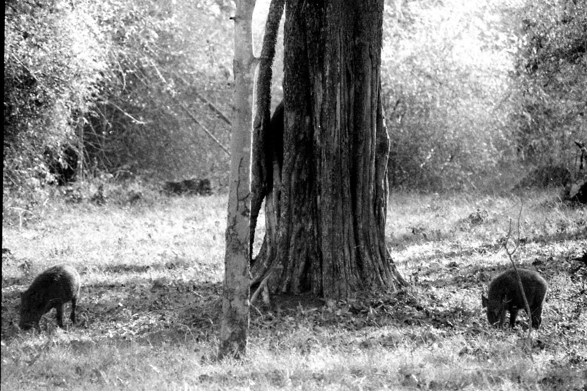 9/3/1990: 24: Nagarahole wild boar