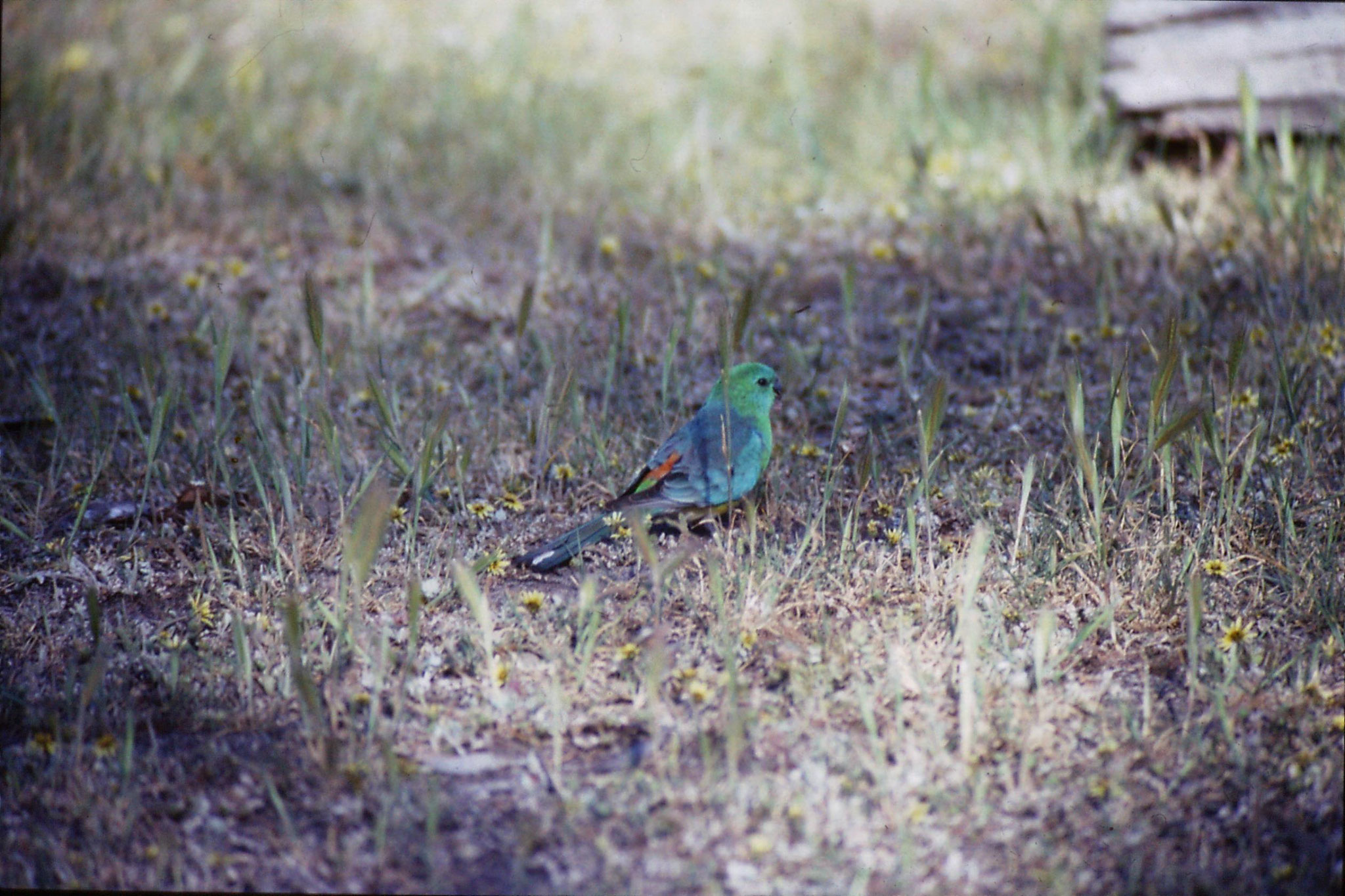 23/9/1990: 22: Wyperfeld, red rumped parrot