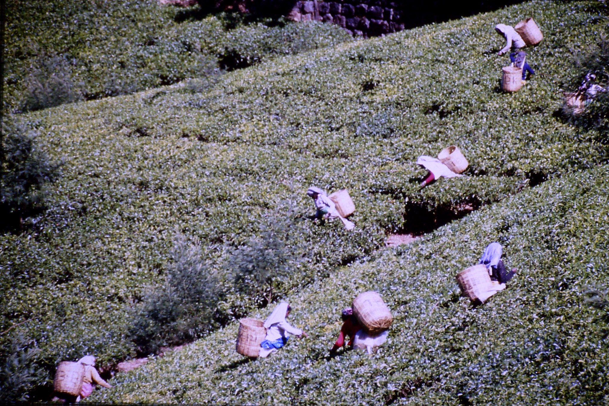 3/2/1990: 2: north of Nuwara Eliya, tea fields