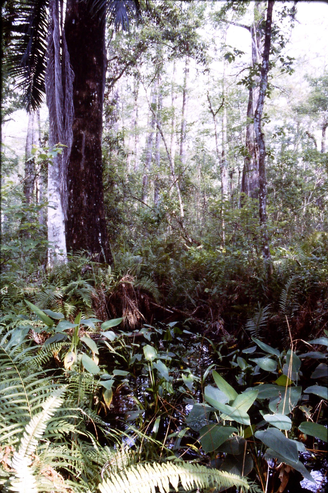 25/2/1991: 13: Corkscrew Swamp