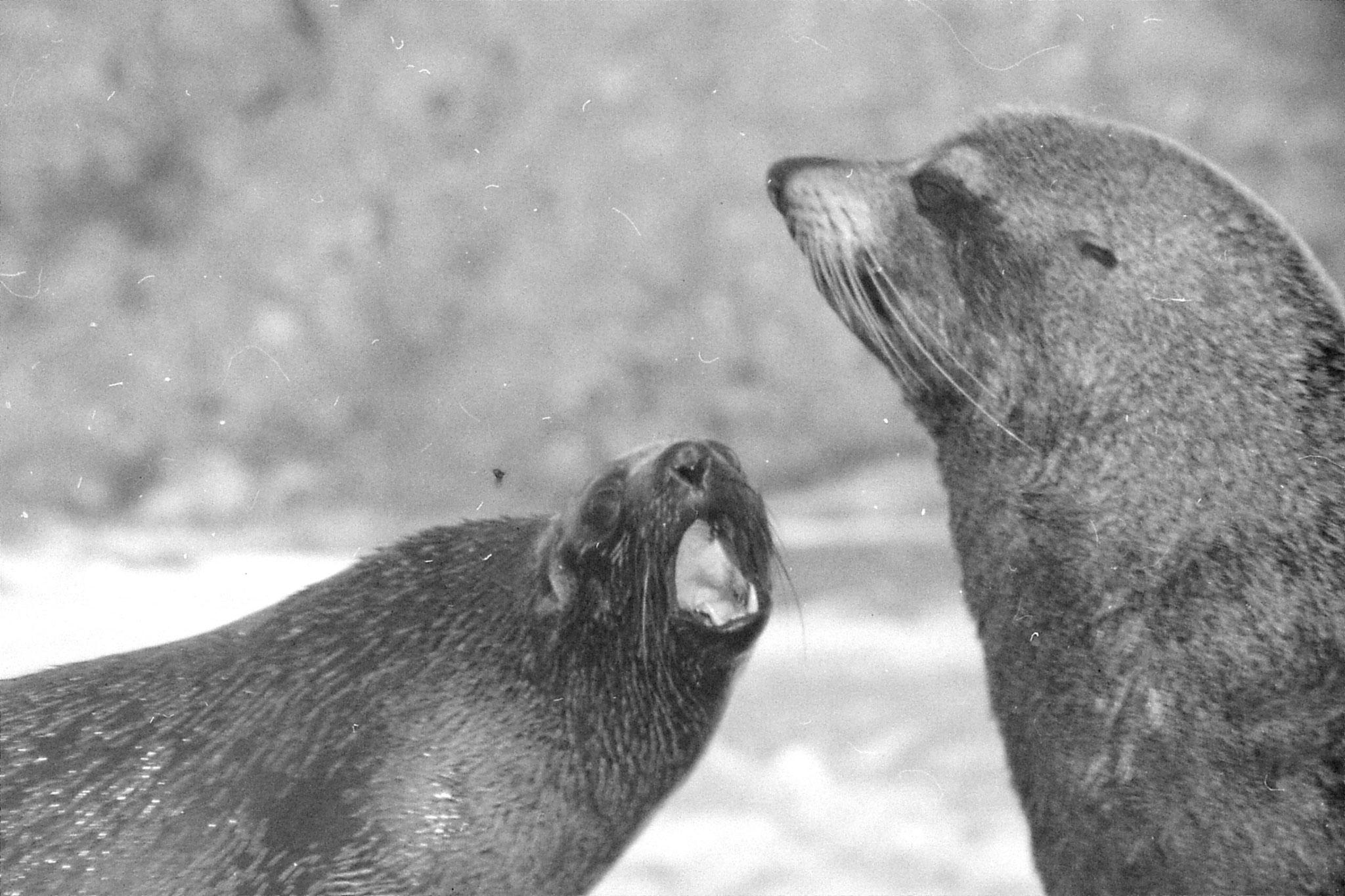 9/8/1990: 8: Kaikoura seals