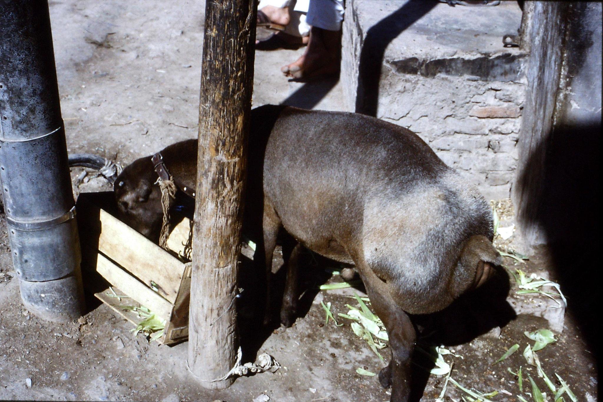 5/11/1989: 17: Peshawar,Afghan sheep