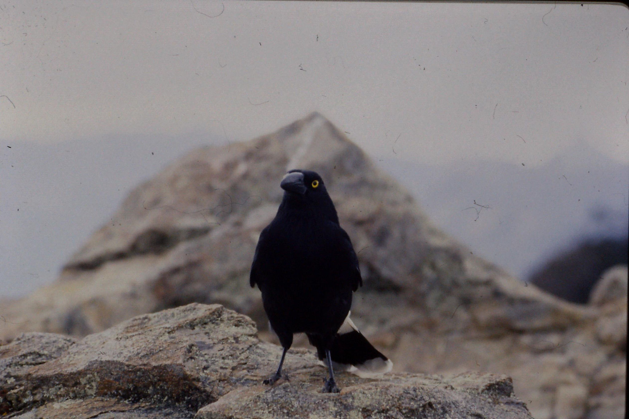 8/10/1990: 28: Warrumbingle Nat. Pk., pied currawong who shared our lunch