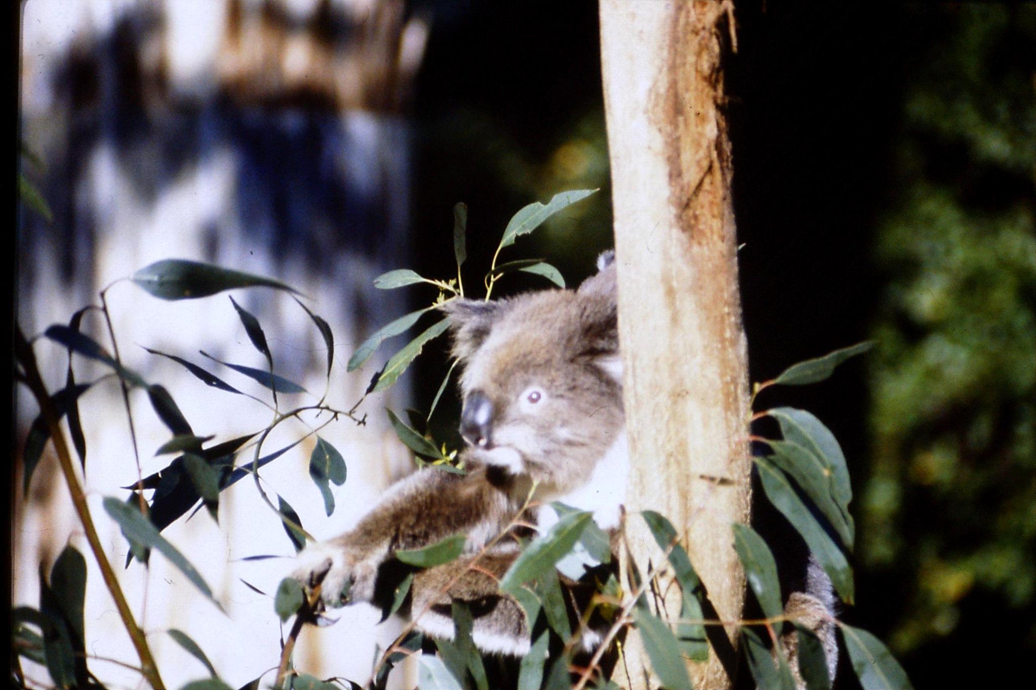 4/10/1990: 25: Healesville  Sanctuary, koalas