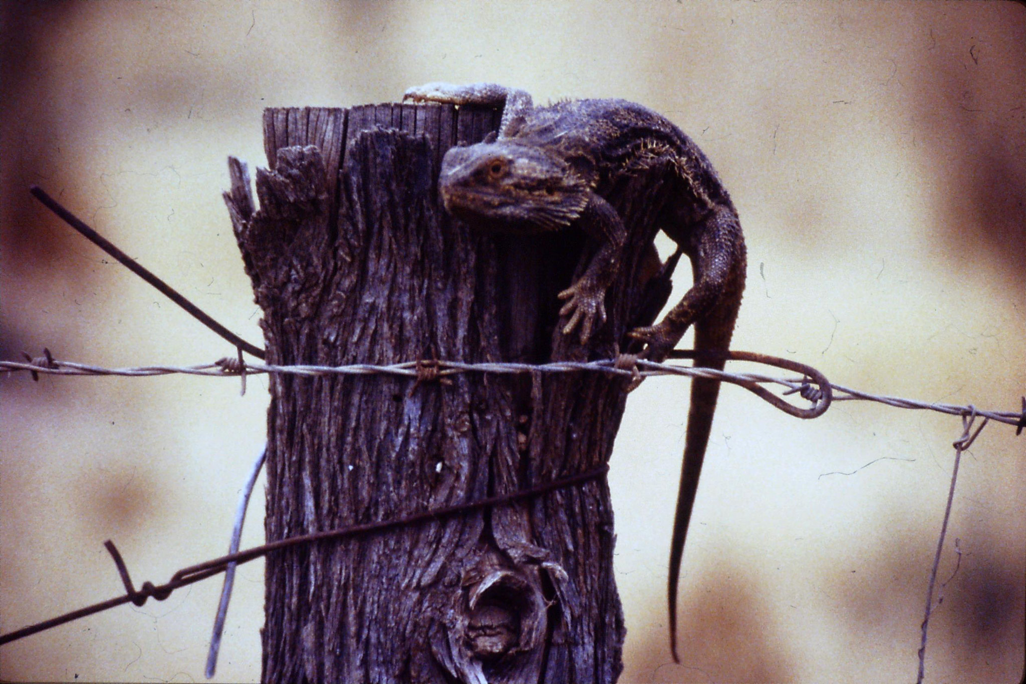 7/11/1990: 33: Lizard on fence post