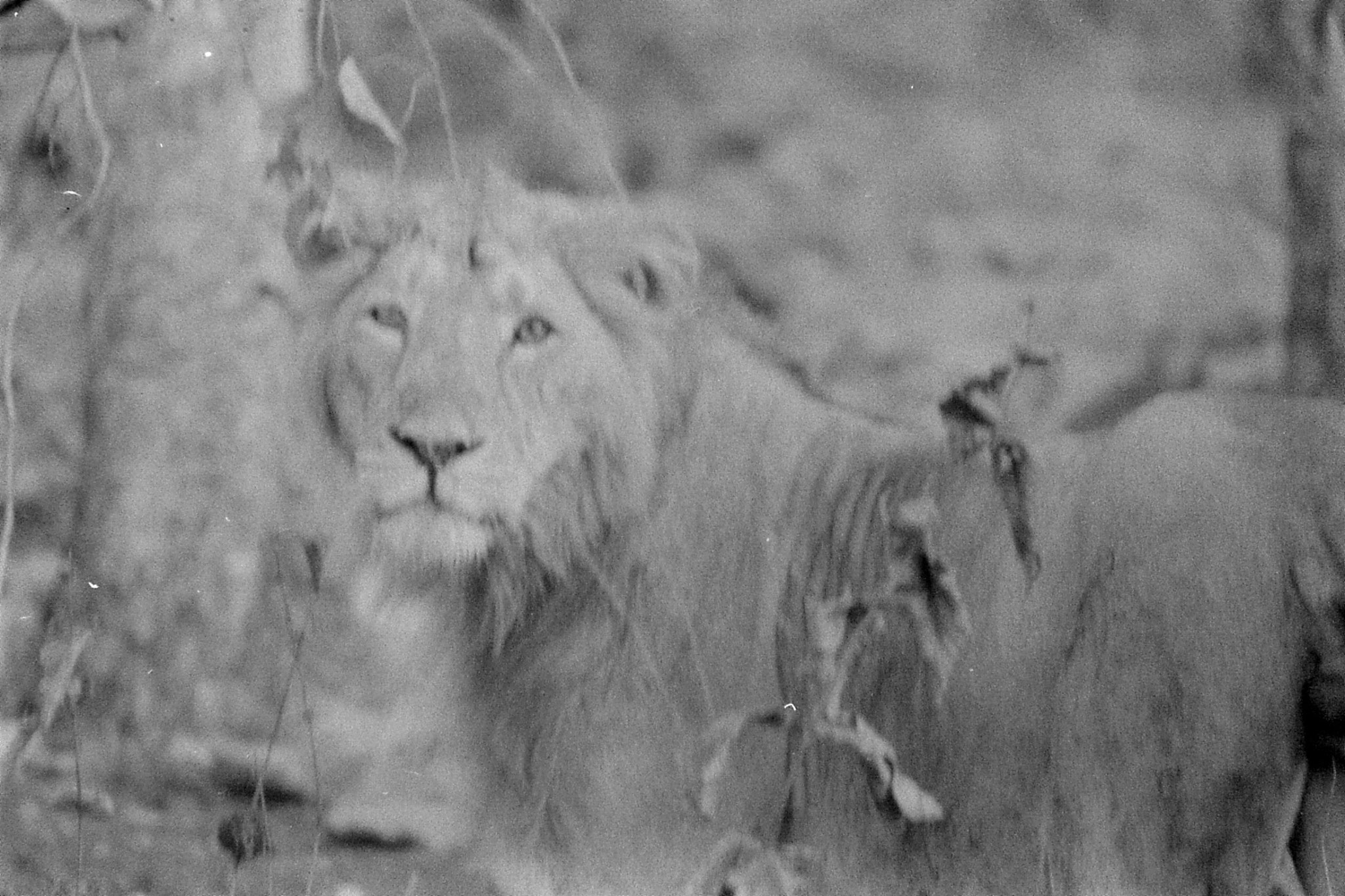 13/12/89: 6: Lions early morning