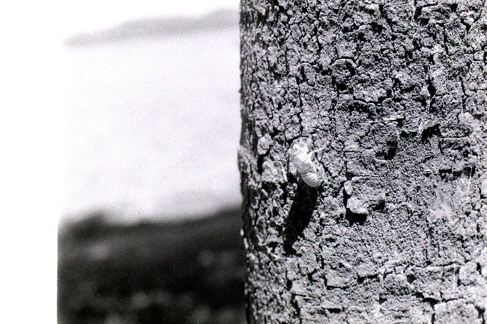 16/7/1989: 13: cicada skin on tree