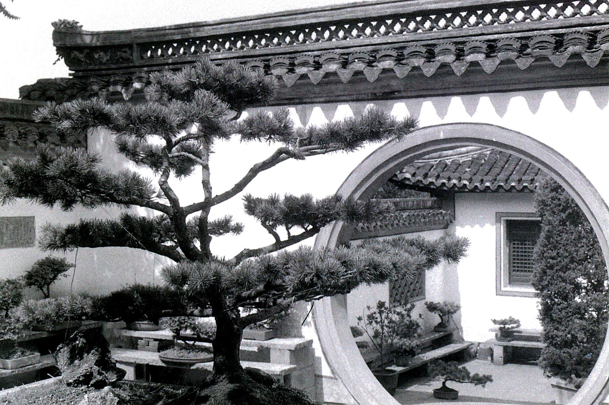 27/6/1989: 24: Shaoxing, bonsai