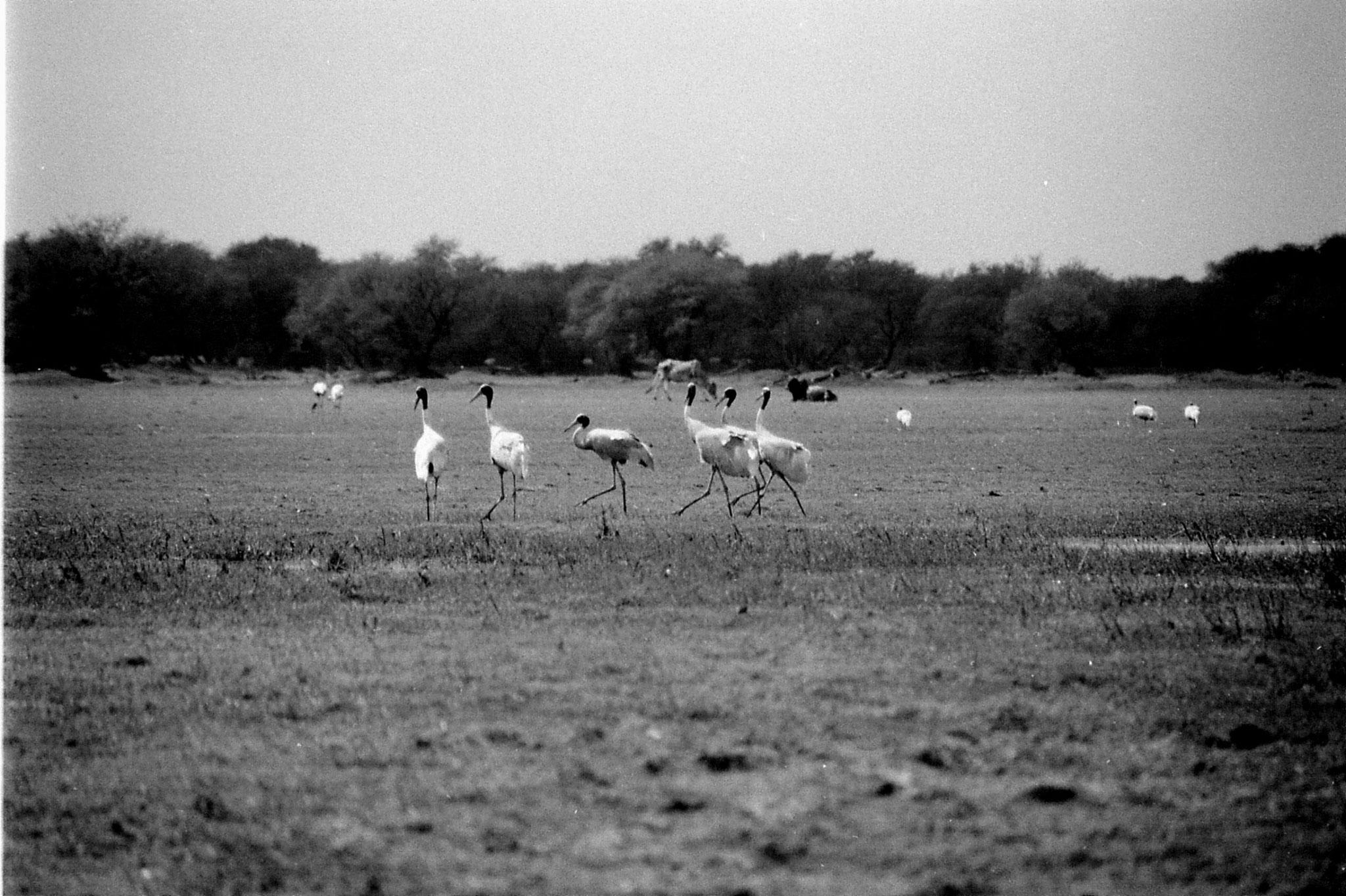 1/4/1990: 15: Bharatpur Sarus cranes dancing