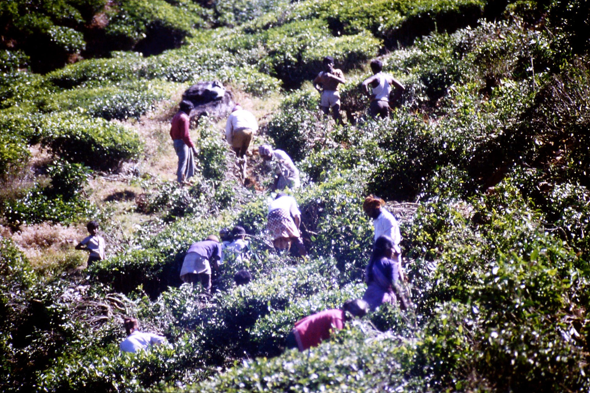 3/2/1990: 5: north of Nuwara Eliya, tea fields