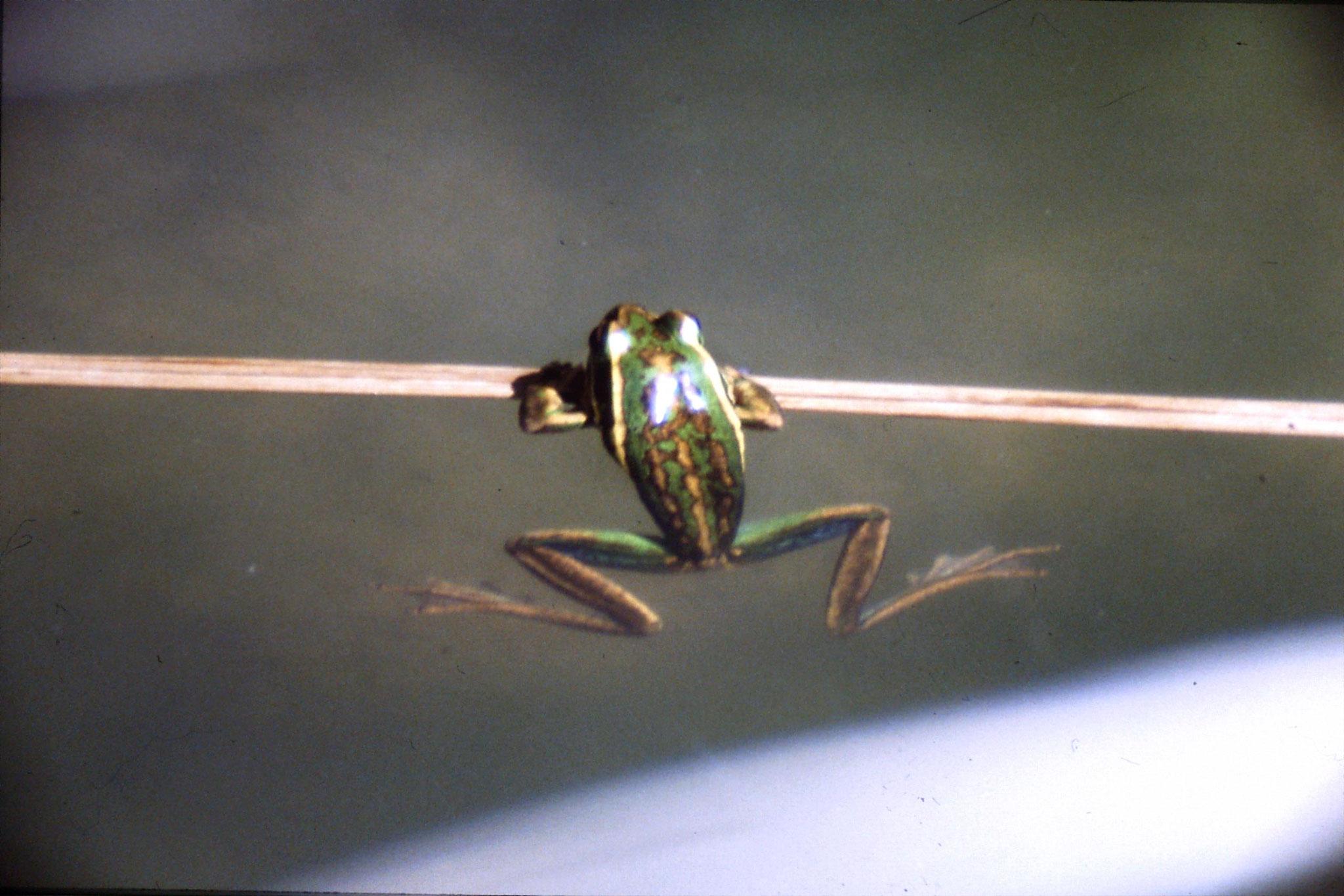 31/8/1990: 31: Waimangu frogs