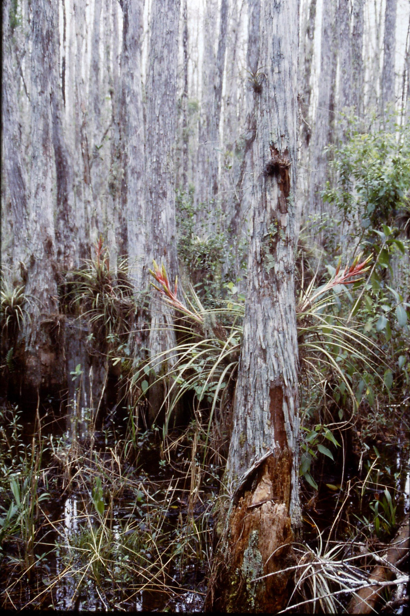 25/2/1991: 15: Corkscrew Swamp