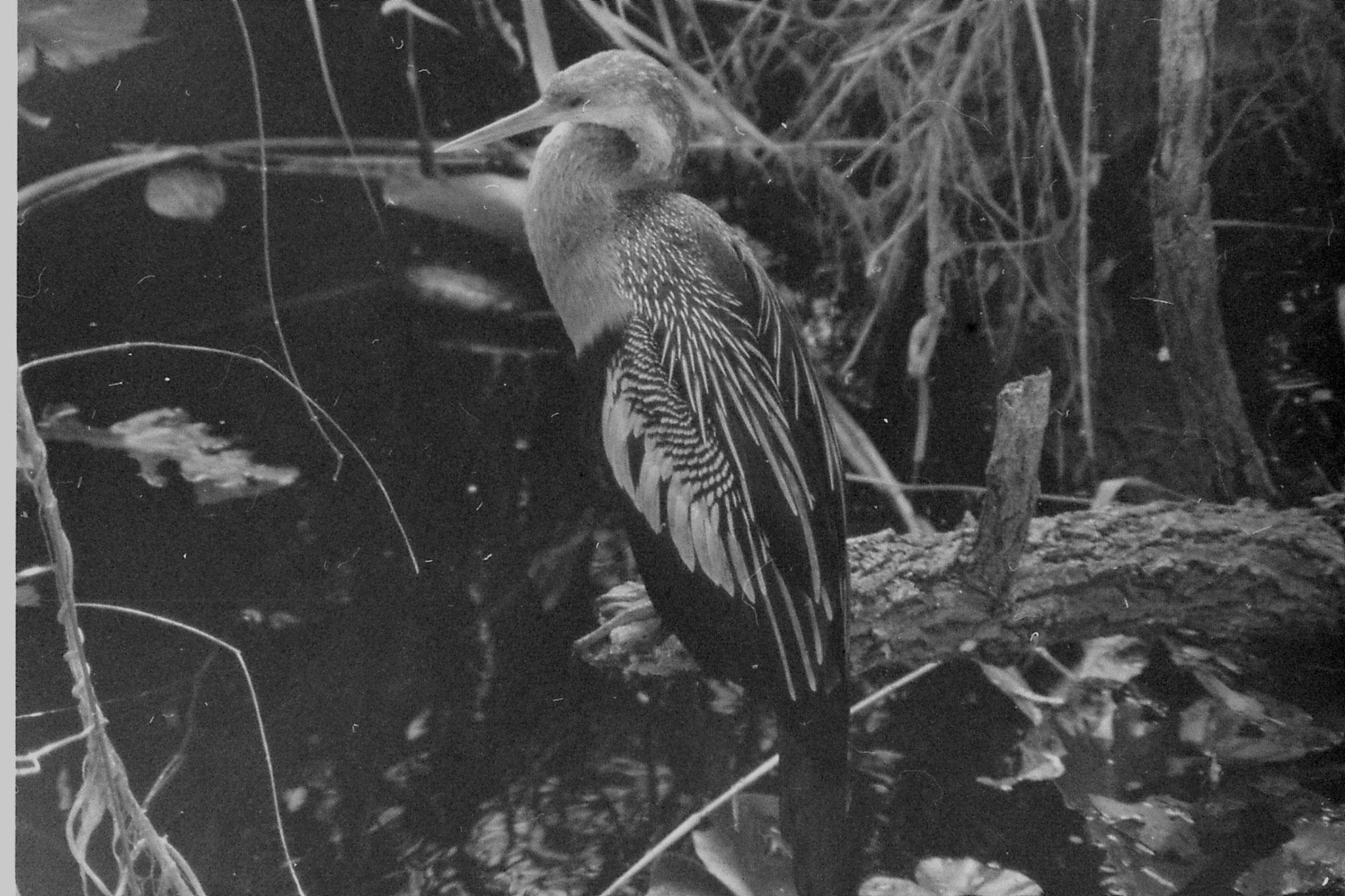 21/12/1990: 6: Everglades, anhinga