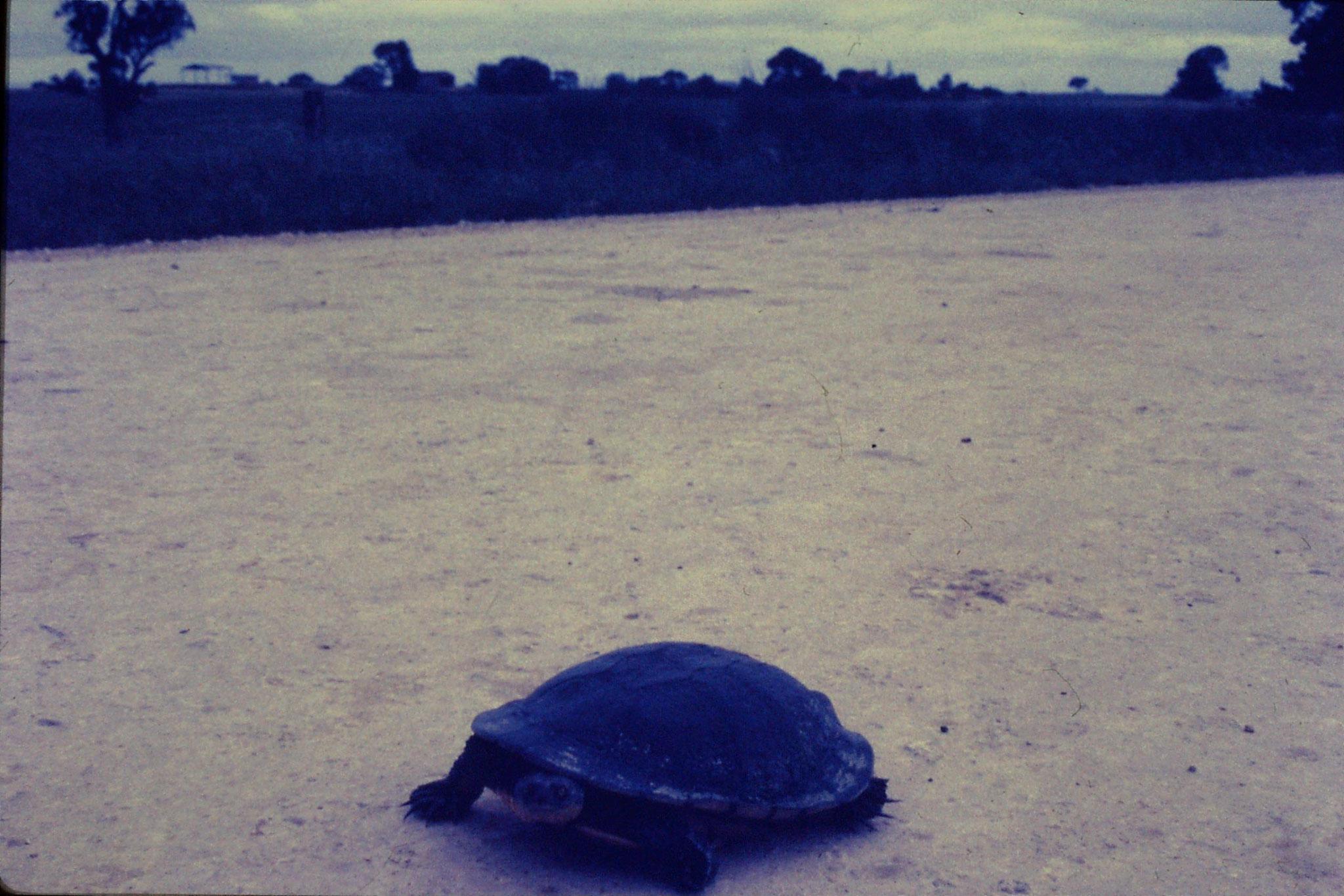 7/11/1990: 5: Naracoorte, tortoise 9 inch