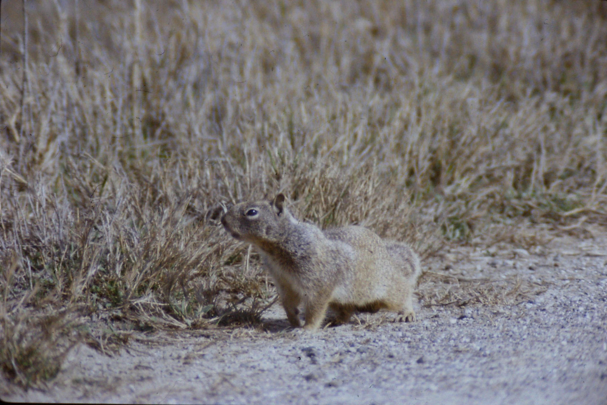 15/2/1991: 8: Sacramento NWR, Beechy Ground Squirrel
