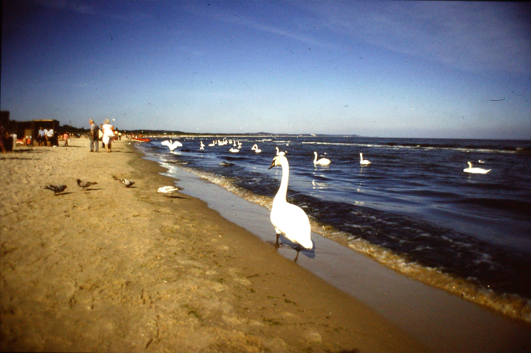 30/8/1988: 12: Swinoujscie, swans on beach