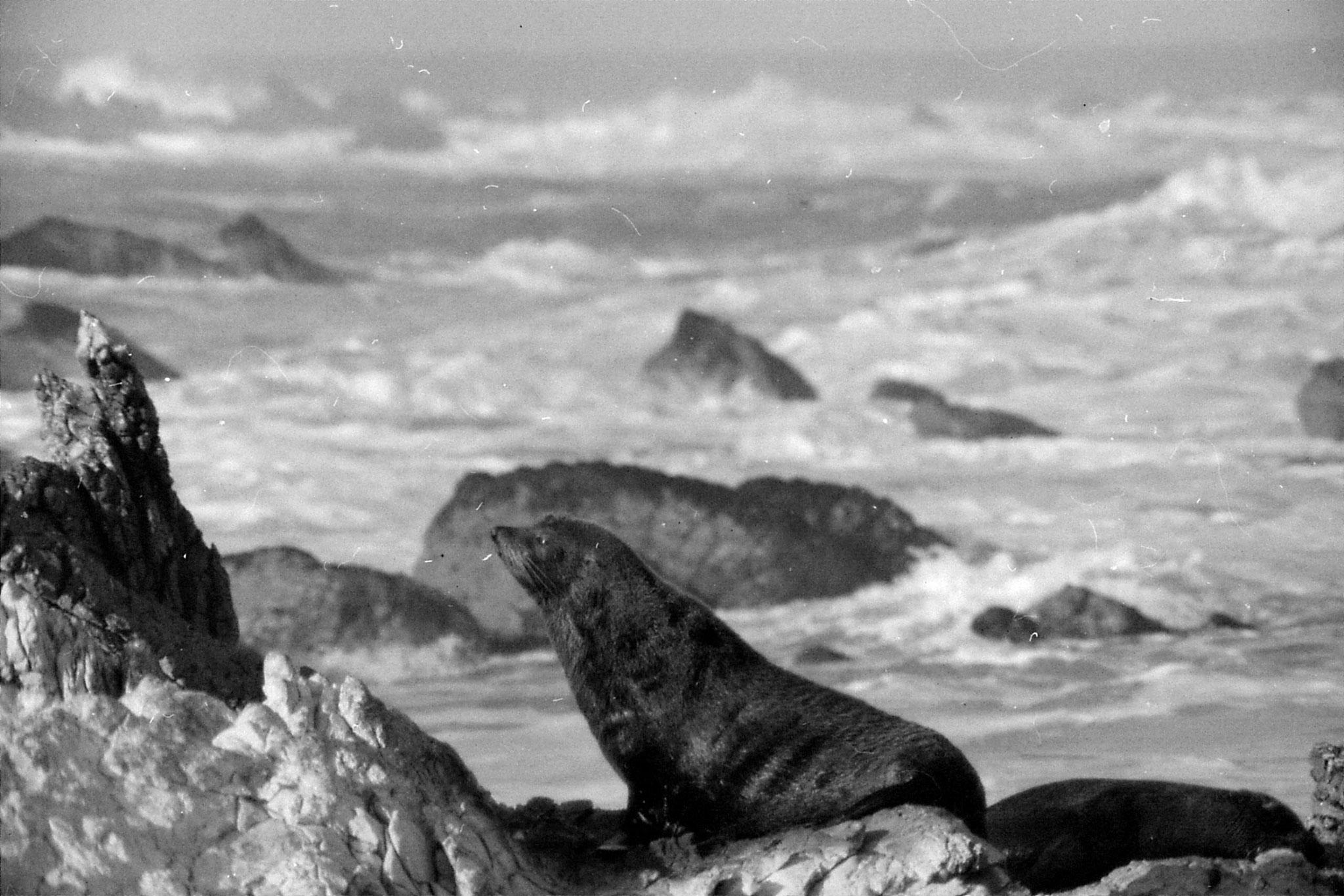 9/8/1990: 3: Kaikoura seals