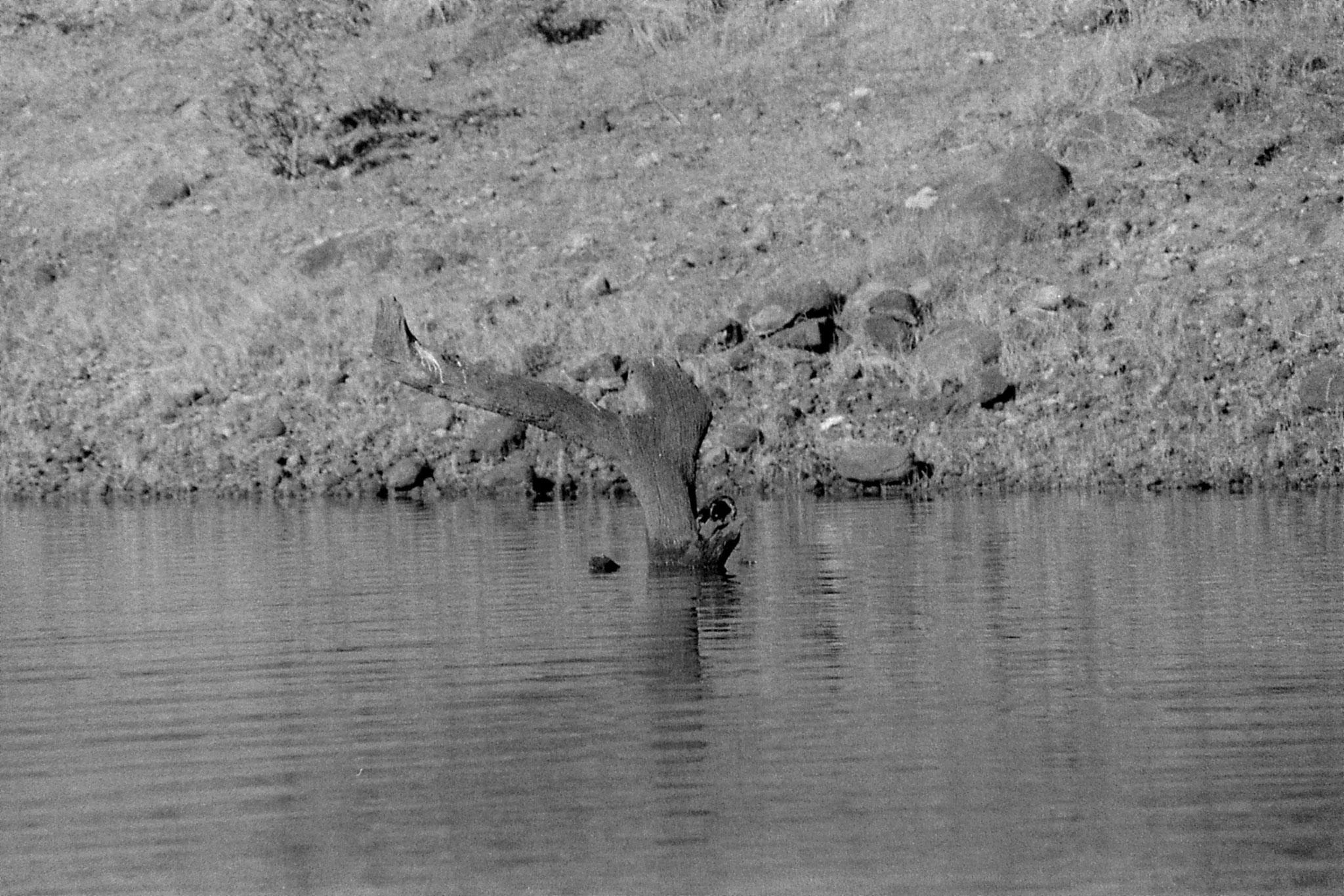 097/26: 23/2/1990 Periyar turtle