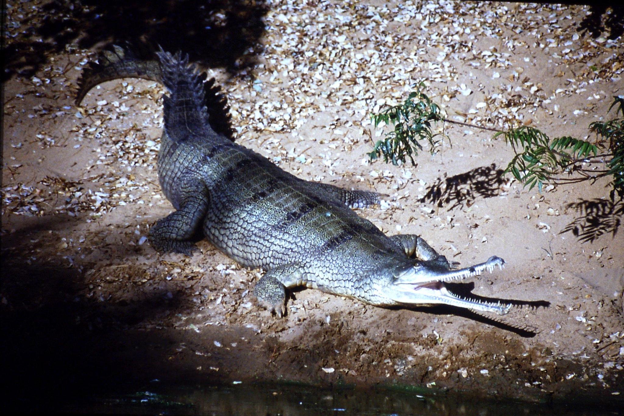 19/1/1990: 24: Madras crocodile park, Ganges gharial