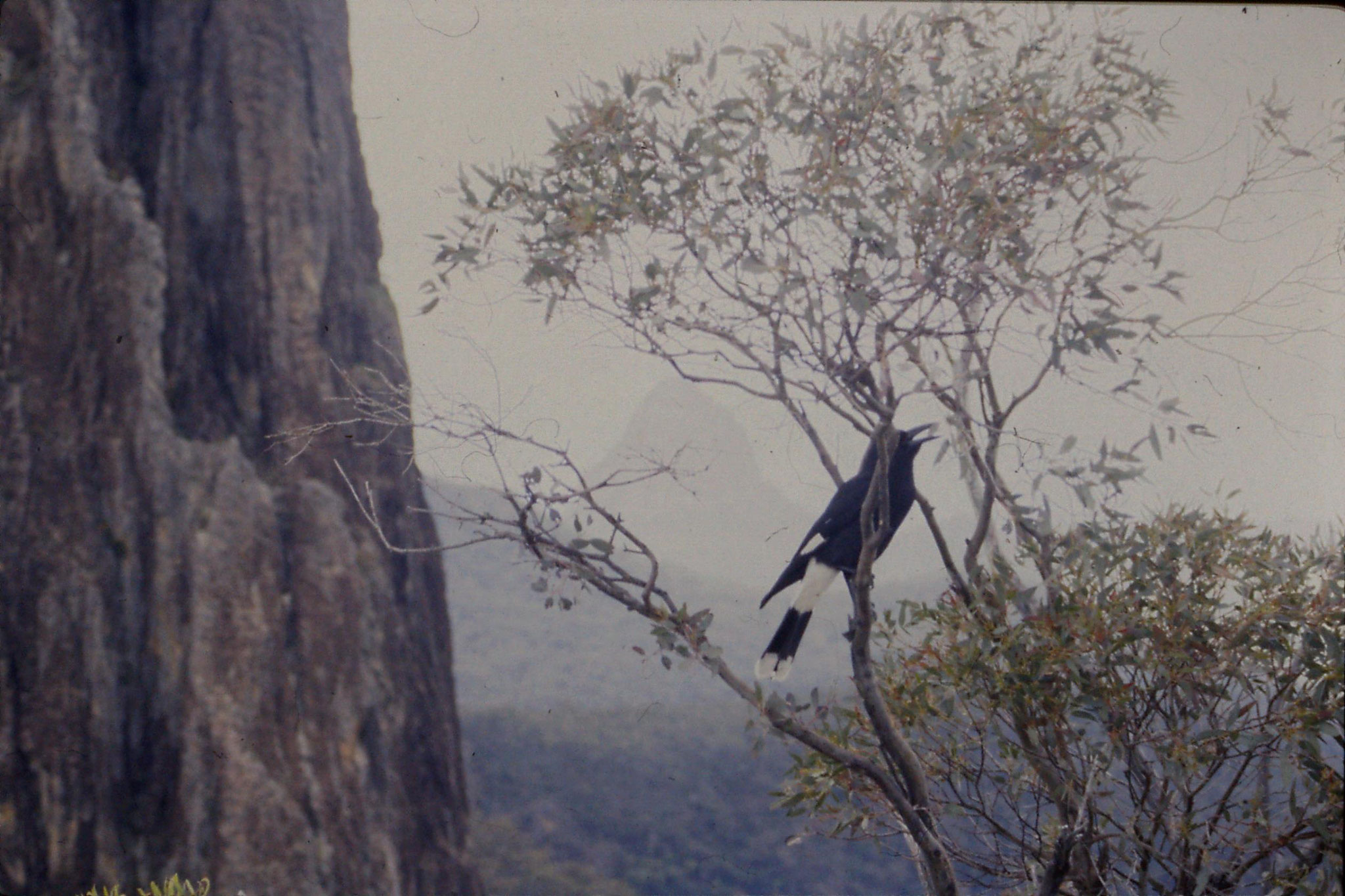 8/10/1990: 29: Warrumbingle Nat. Pk., pied currawong who followed us along path